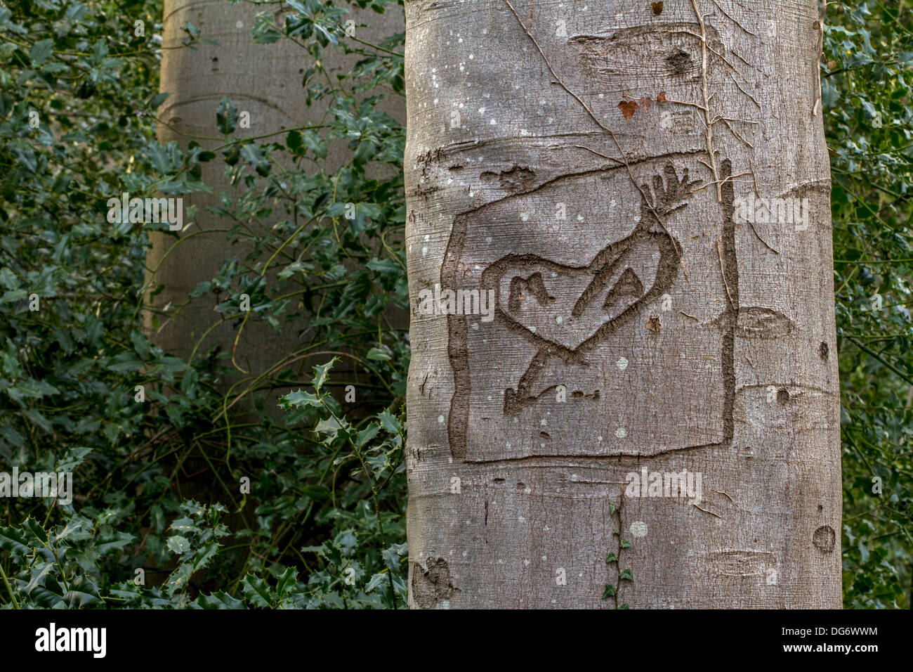 European beech (Fagus sylvatica) tree with love heart graffiti carved into its bark in park - Stock Image