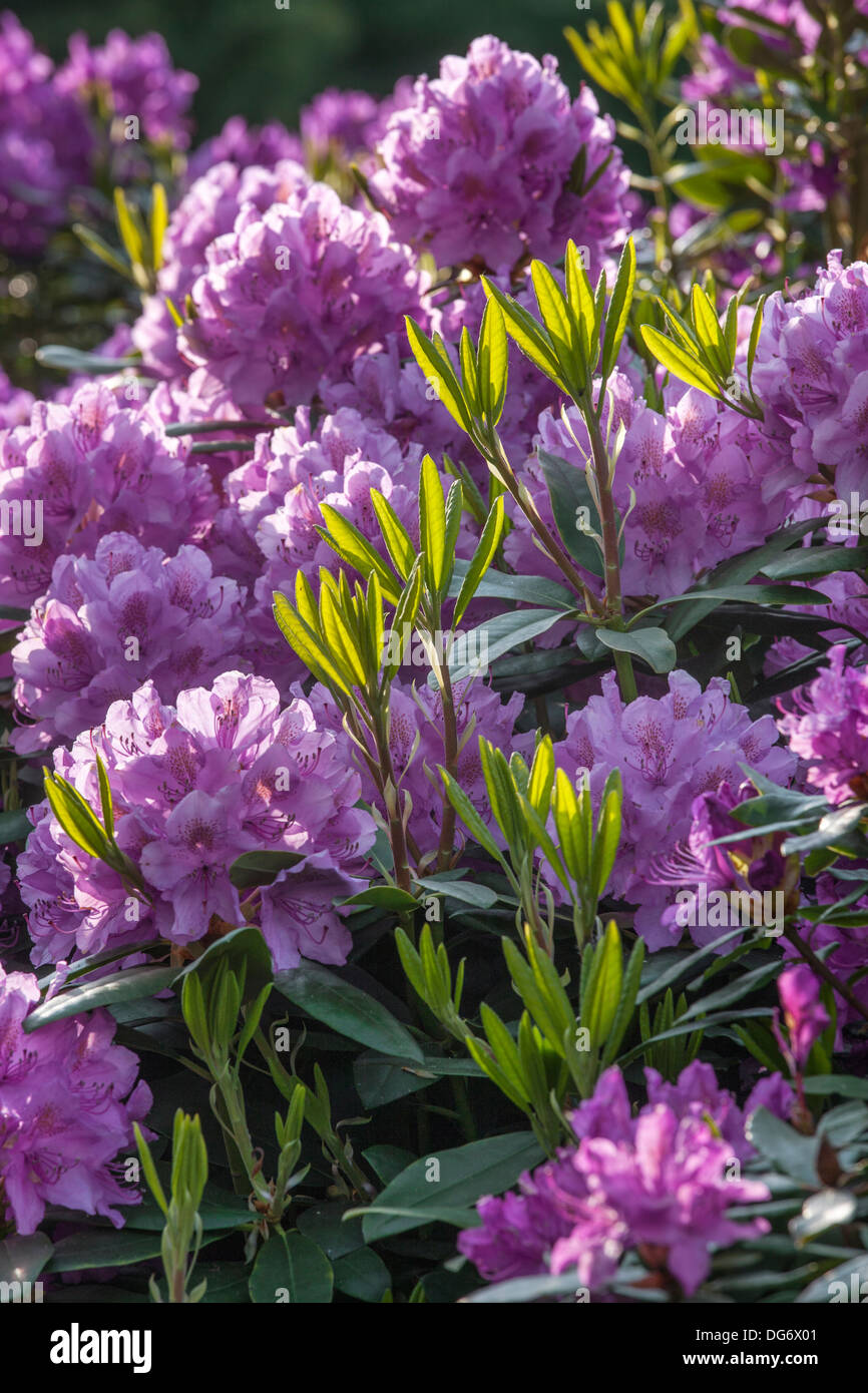 Flowering Common rhododendron / pontic rhododendron (Rhododendron ponticum) showing purple flowers - Stock Image