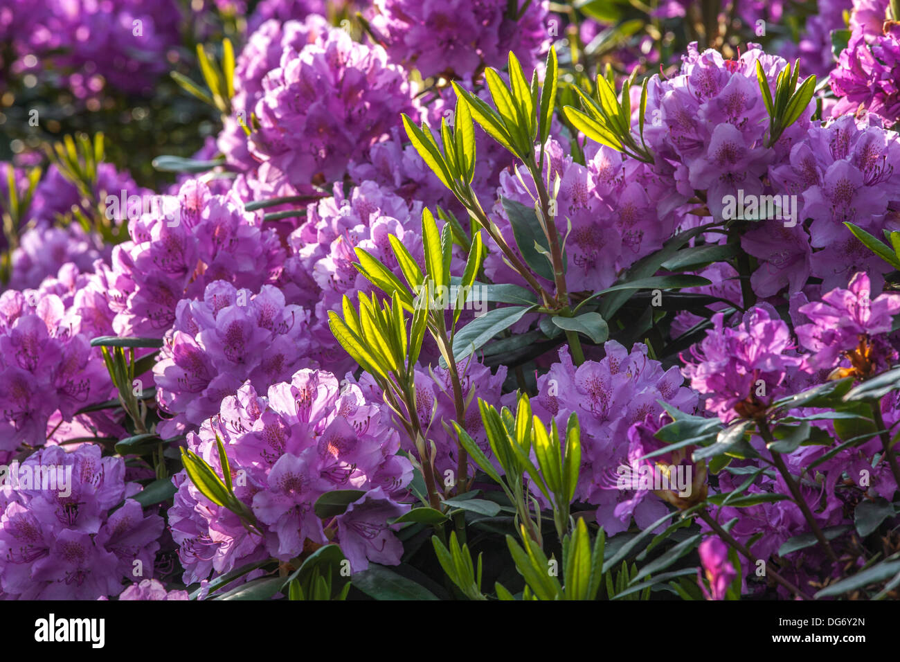 Common rhododendron / pontic rhododendron (Rhododendron ponticum) in flower - Stock Image