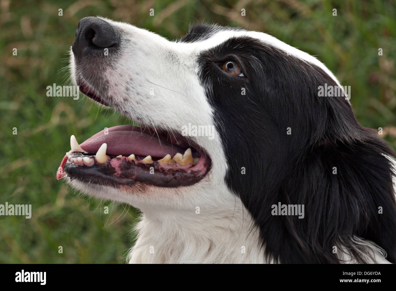 head shot of classically marked black and white border collie dog looking up to handler with expectant expression - Stock Image