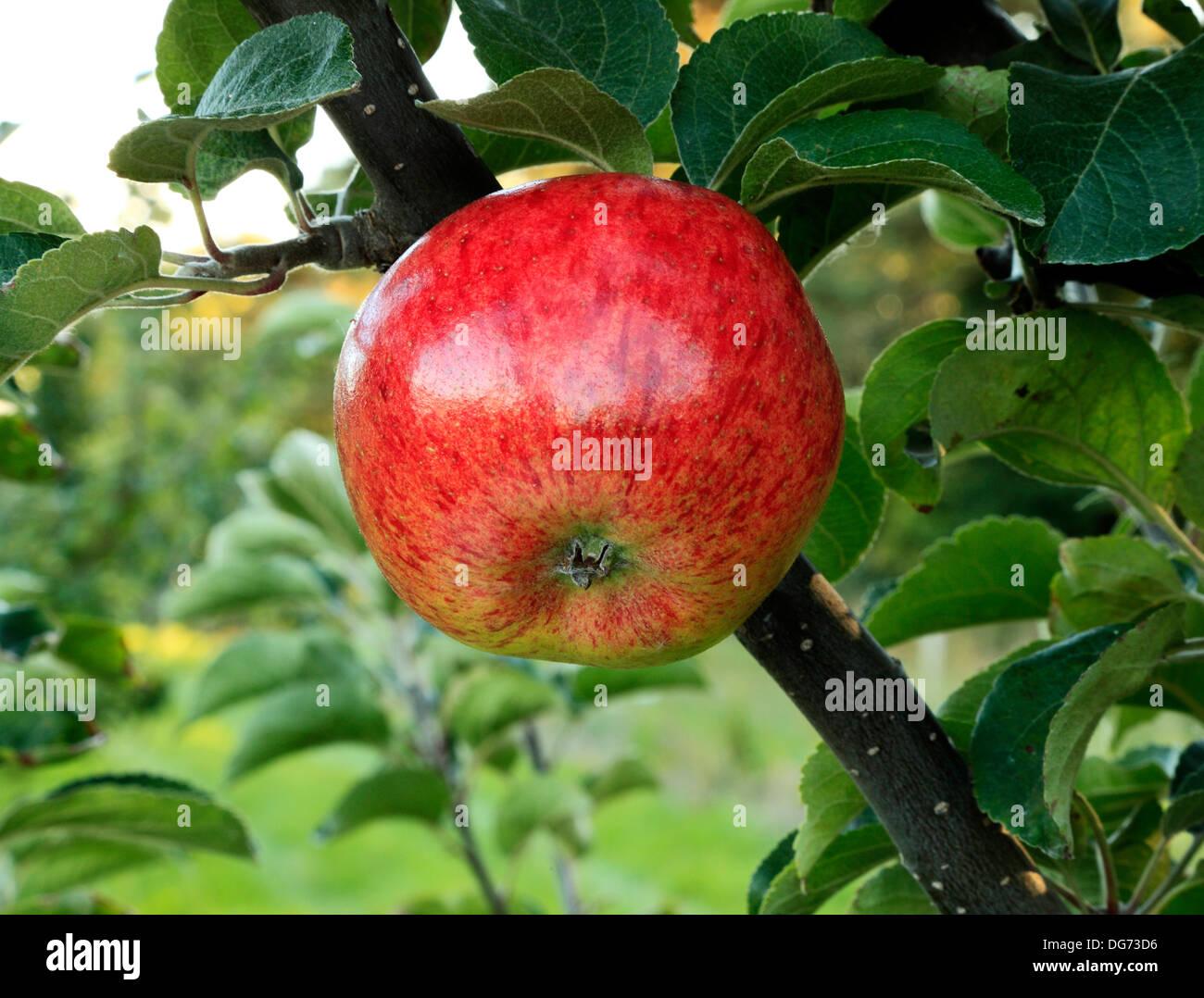 Apple 'Jolly Miller', - Stock Image