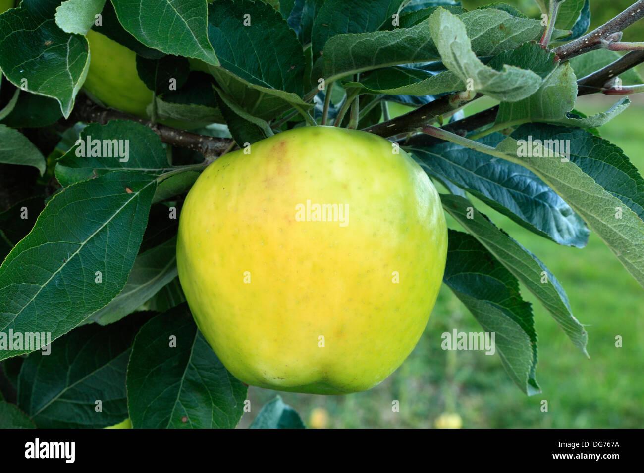 Apple 'Hambling's Seedling', culinary cooking variety, malus domestica, apples variety varieties growing on tree - Stock Image