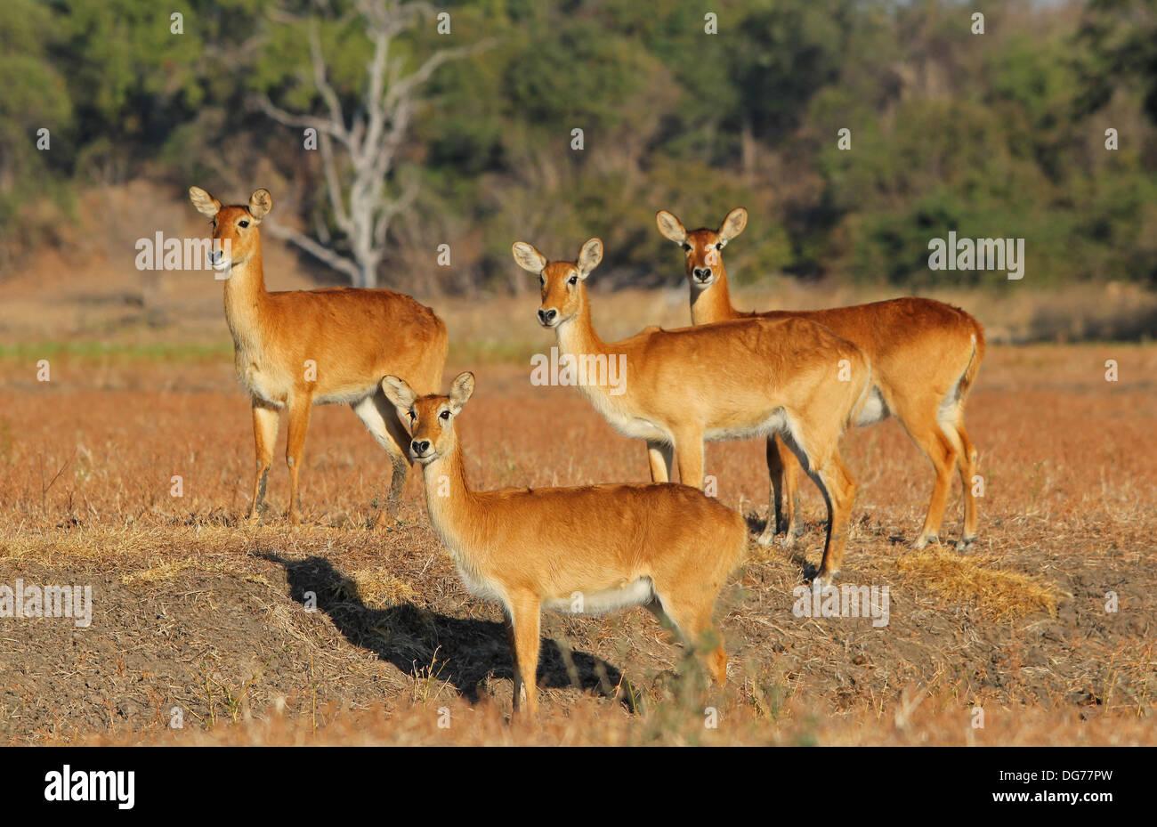 Puku Gazelle Zambia - Stock Image