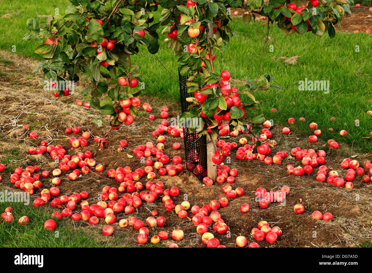 Fallen Apples On The Ground Red Millers Seedling Malus Domestica Variety Varieties Growing Tree Norfolk England