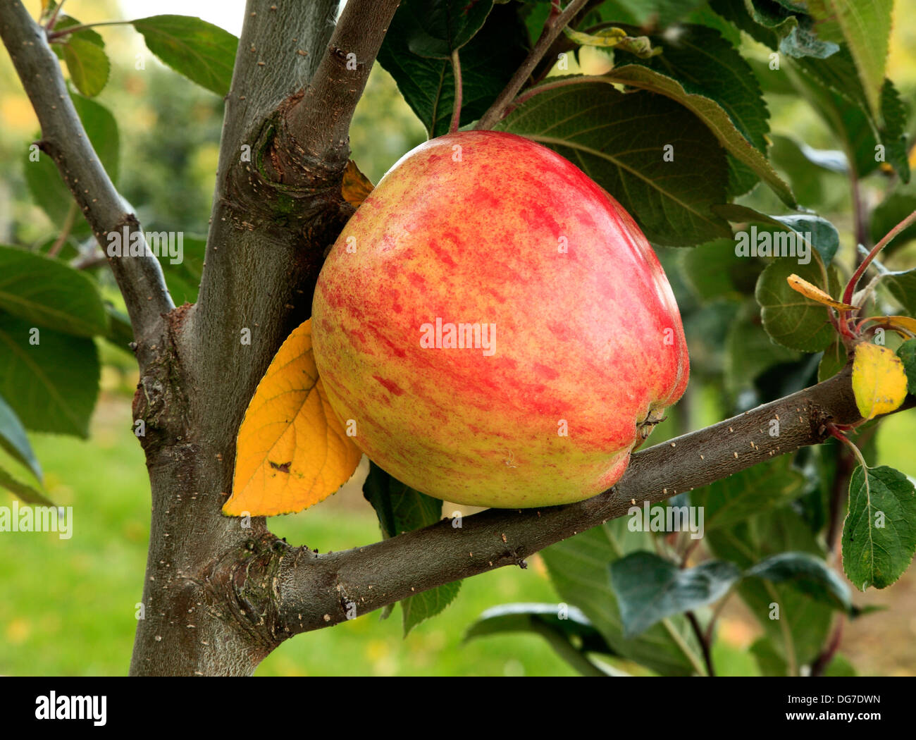 Apple, 'Dr. Clifford', variety, malus domestica, apples varieties growing on tree Norfolk England UK - Stock Image