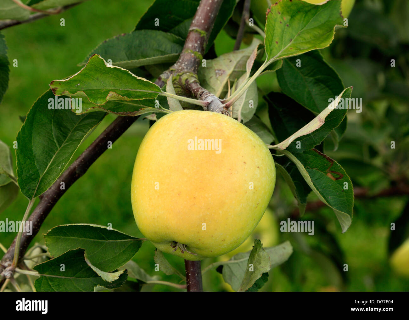 Apple ''Woodford', named culinary cooking - Stock Image