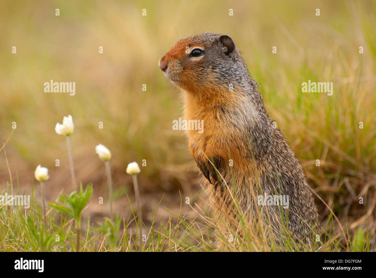 Columbian ground squirrel Urocitellus columbianus, Banff National Park, Alberta, Canada Stock Photo