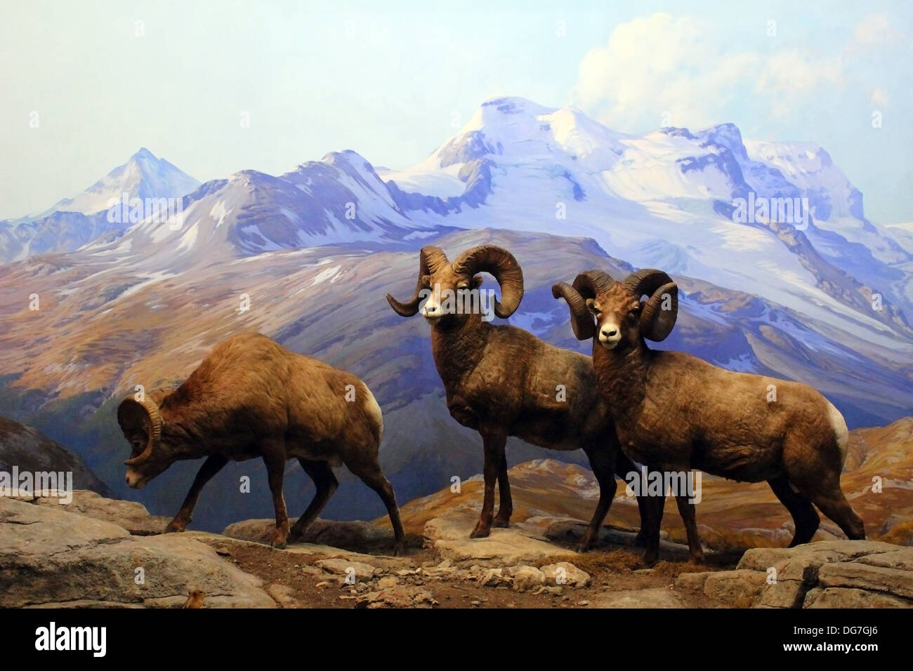 A diorama of Big Horn Sheep displayed at the American Museum of Natural History in New York City. - Stock Image