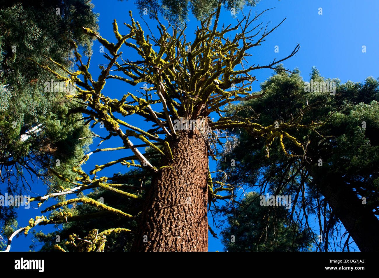 Shasta red fir snag from Park Ridge Trail, Kings Canyon National Park, California - Stock Image