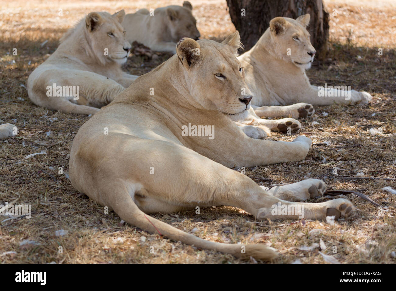 A small family of white lions indigenous to South Africa - Stock Image