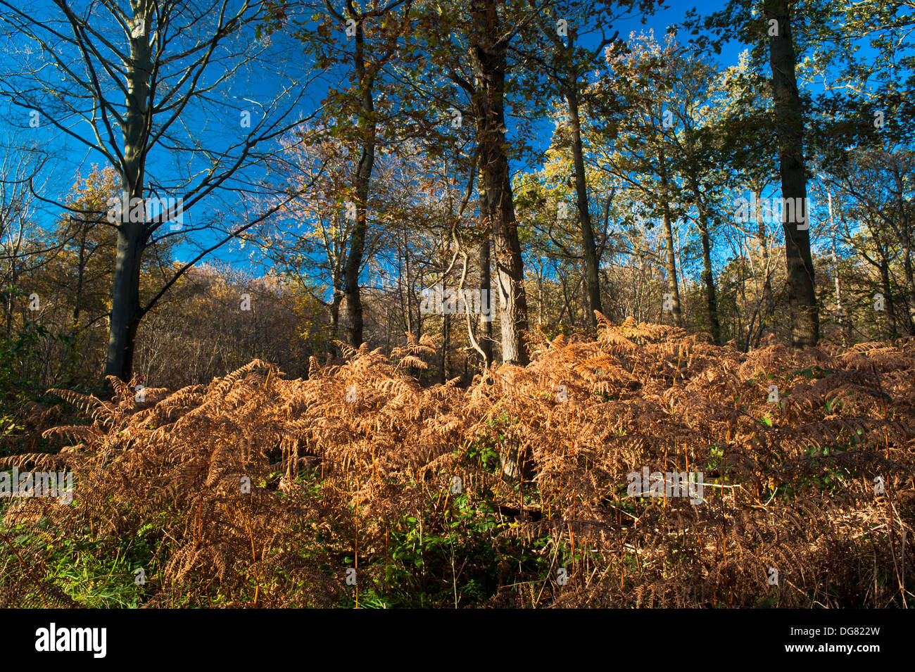 brown bracken in autumn at the edge of woodland at bedford purlieus stock photo alamy alamy