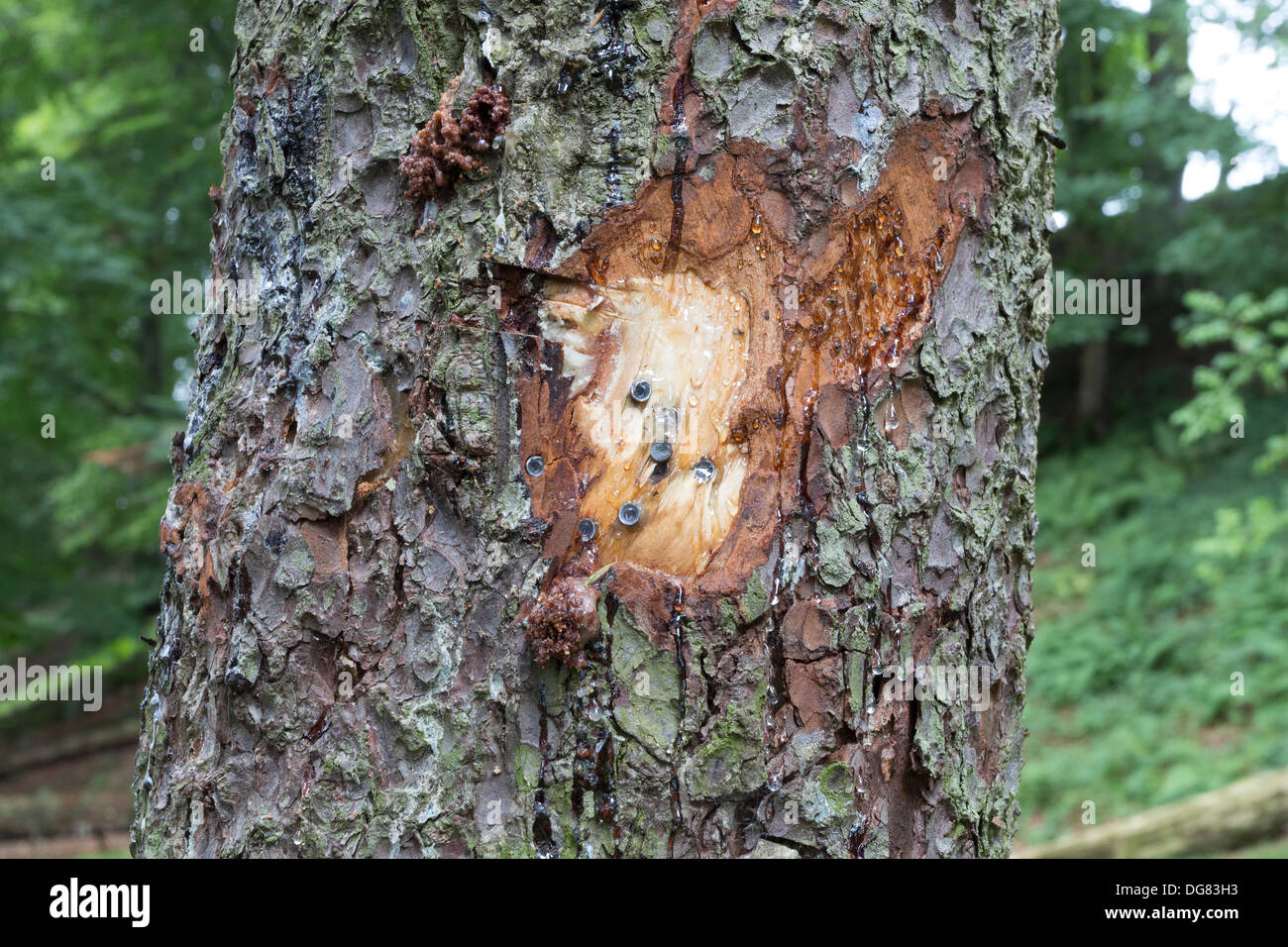 Tree Damaged with 2.2 Air Rifle Pellets at a Public Beauty Spot in Teesdale County Durham UK - Stock Image