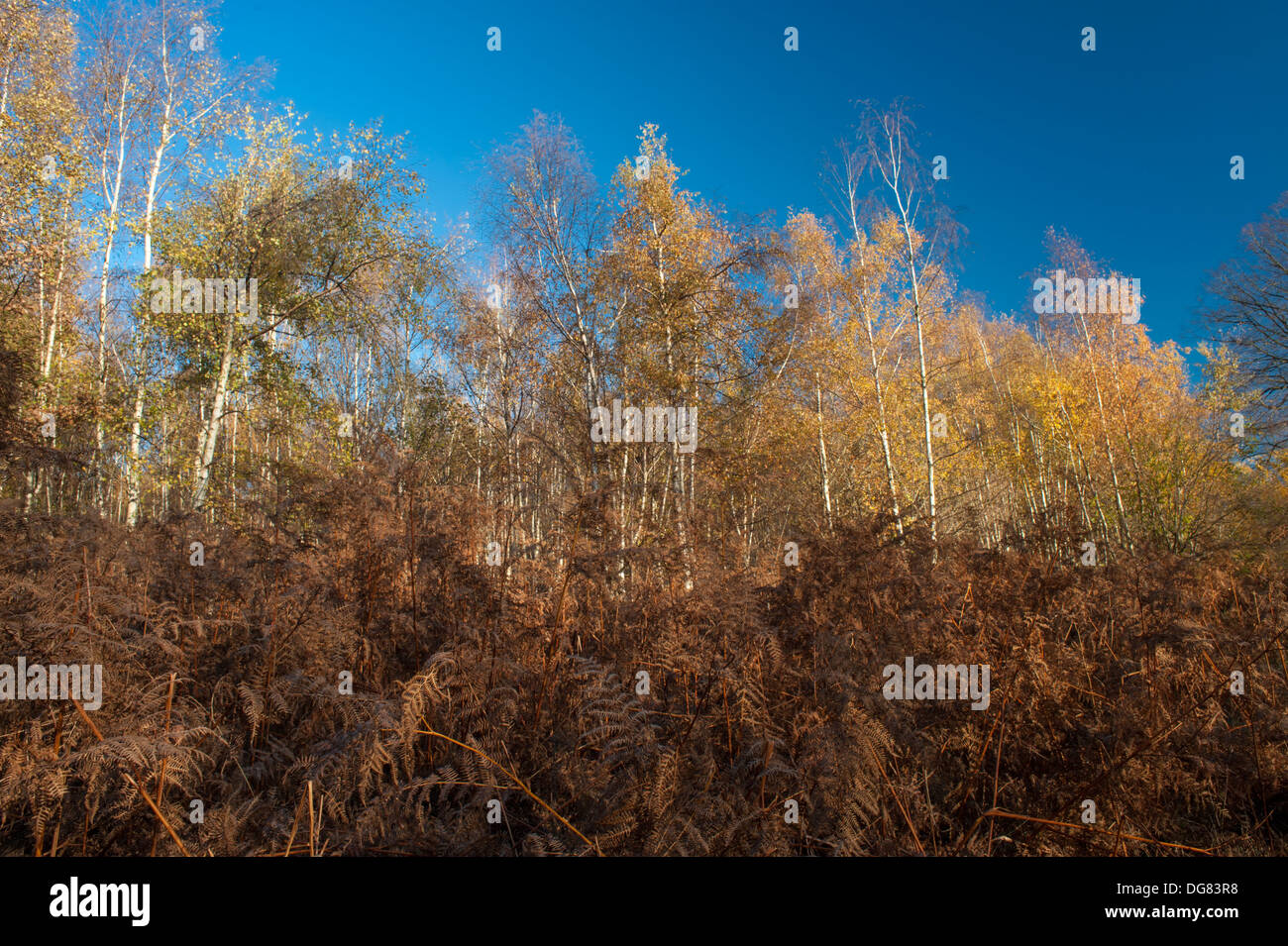 The Edge Bedford >> Brown Bracken And Birch Woodland In Autumn At The Edge Of