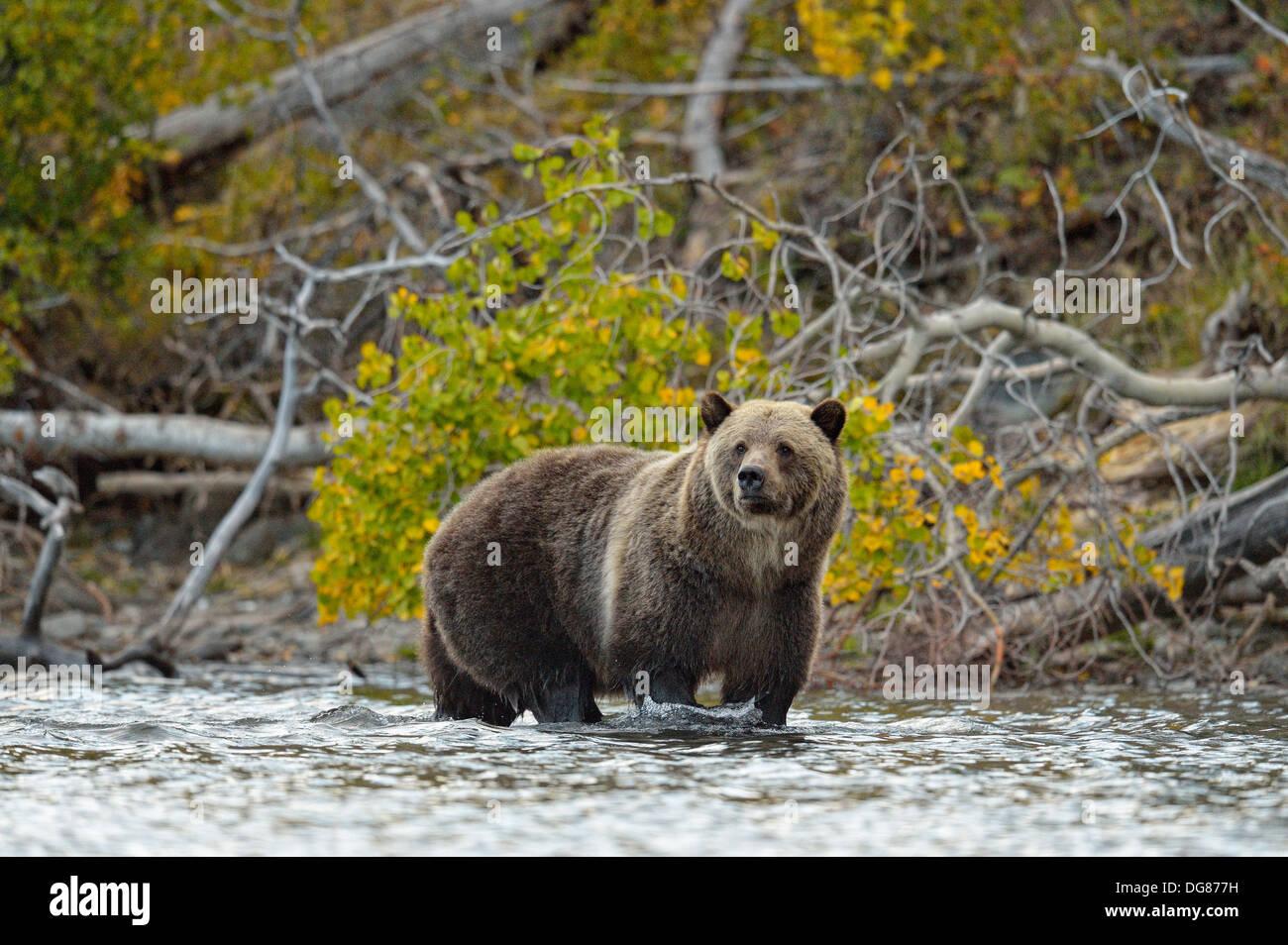 Grizzly bear, Ursus arctos, Feeding on fish during the autumn sockeye salmon spawning season Chilcotin Wilderness BC Canada - Stock Image