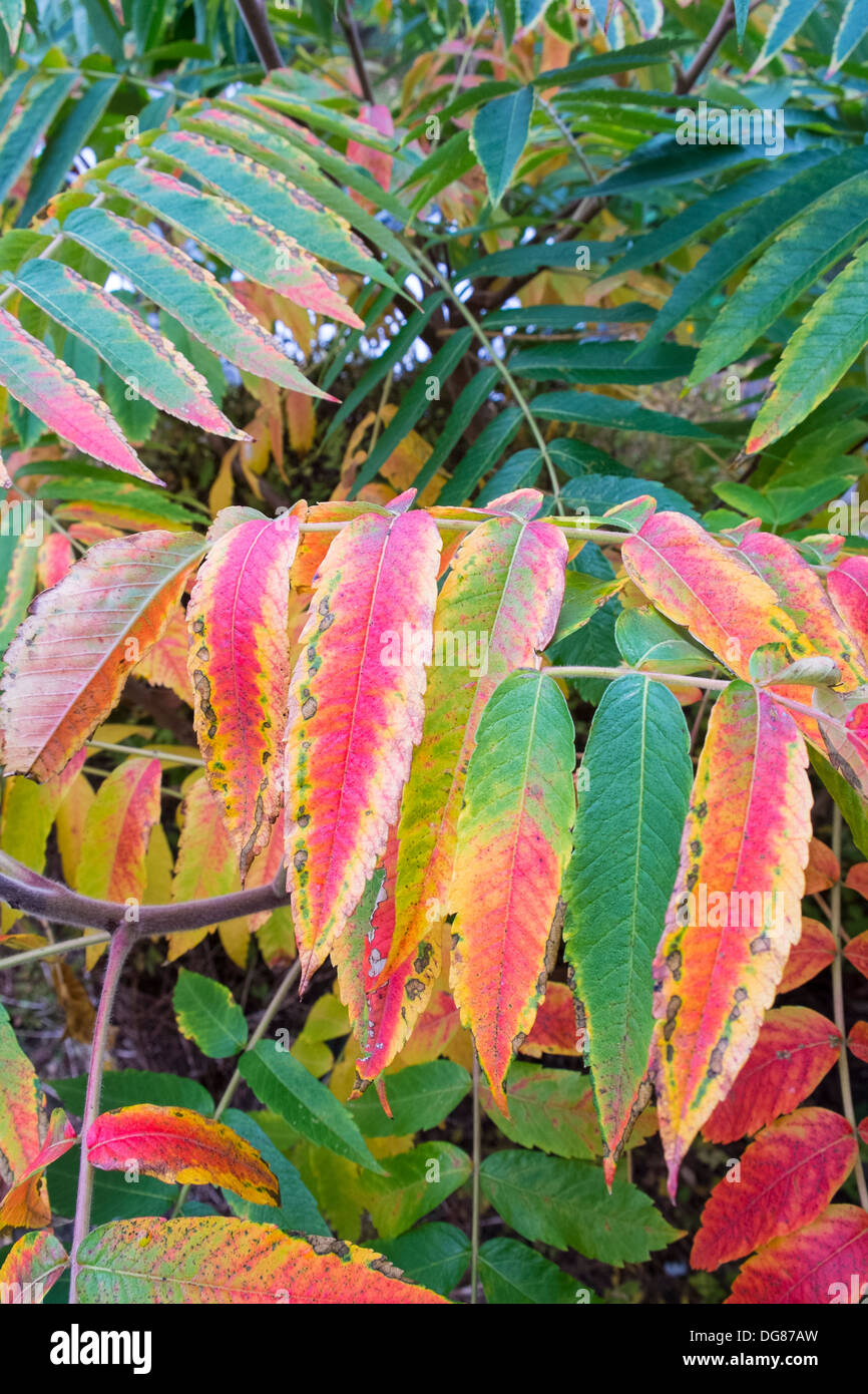 Early Autumn / Fall - The leaves of the Staghorn  ( Stags Horn, Sumac ) tree turning red - Stock Image