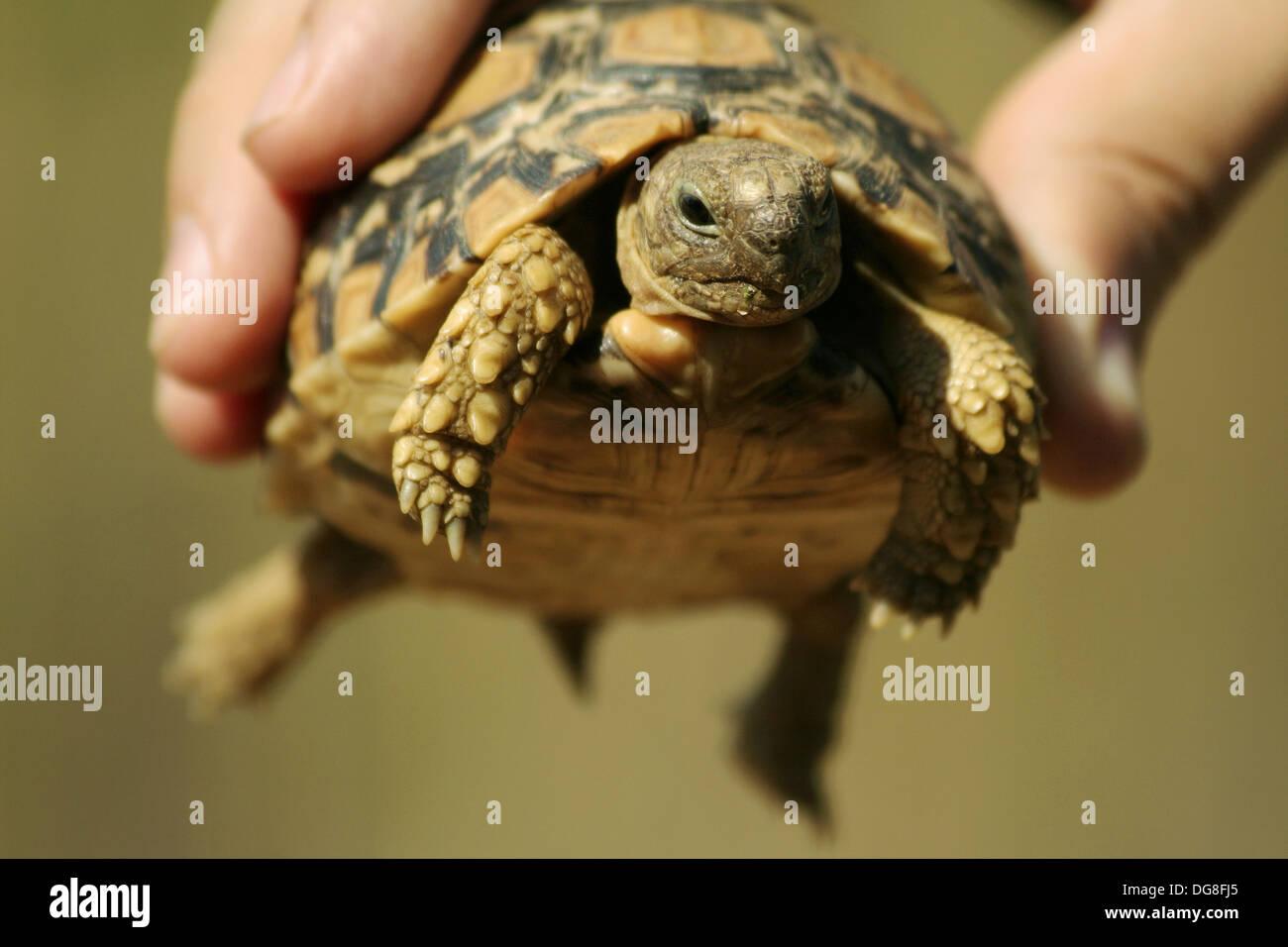 Leopard Tortoise in Zimbabwe - Stock Image