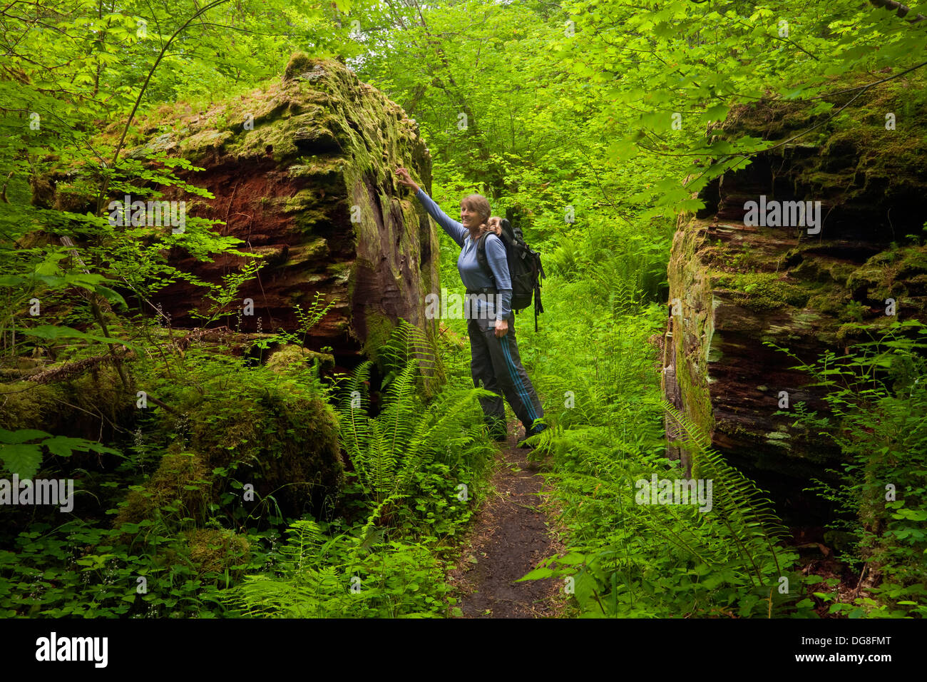 Hiker inspecting a giant old log on the South Fork Hoh River Trail in the temperate rain forest area of Olympic National Park. - Stock Image