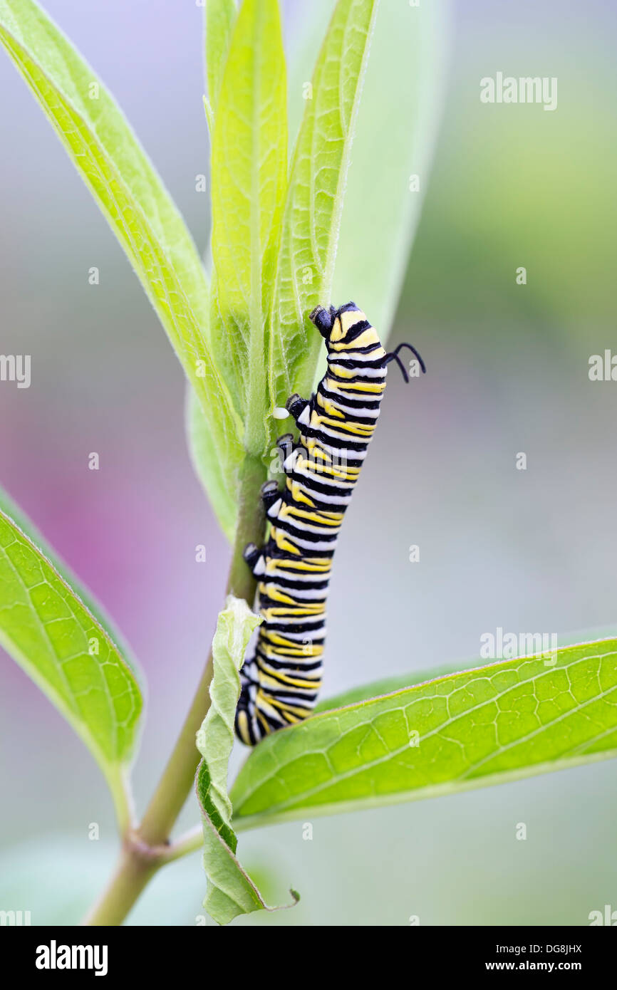 Monarch butterfly caterpillar (Danaus plexippus) on leaf - Stock Image