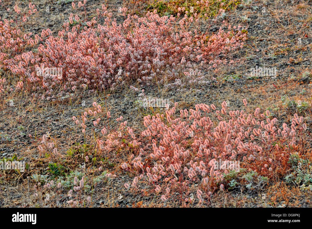 Hare'sfoot clover Trifolium arvense Flowering colonies road to Hurricane Ridge Olympic National Park Washington USA - Stock Image