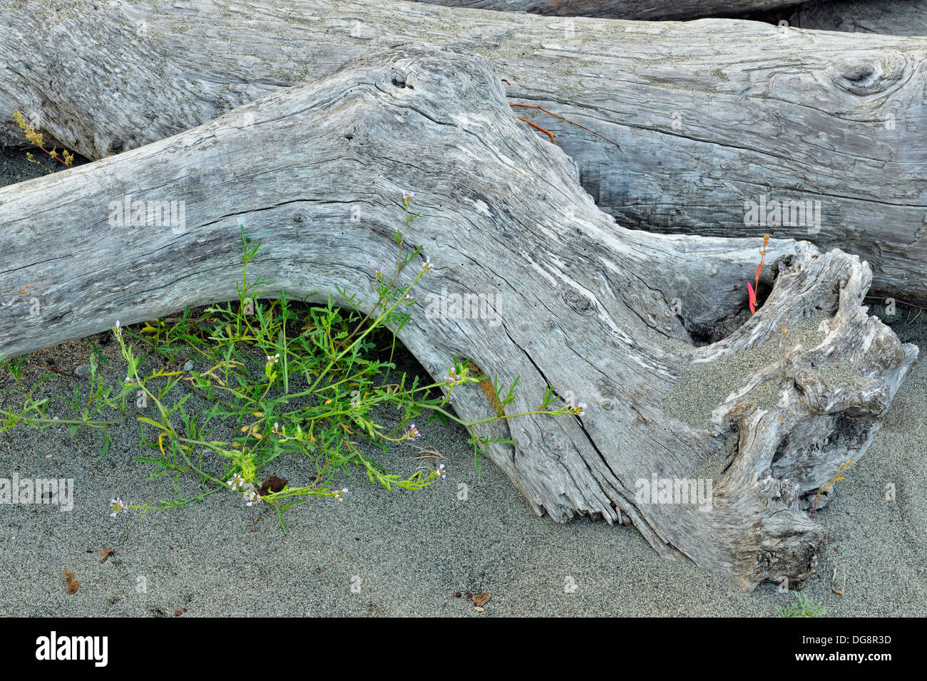 Driftwood logs and European Searocket Cakile maritima East Saanich First Nation Reserve No 2 Tsawout First Nation BC Canada - Stock Image