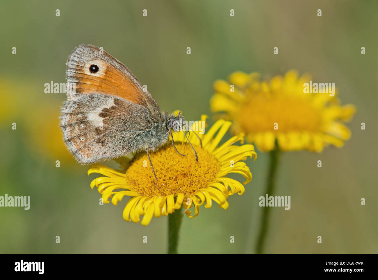 Small Heath-Coenonympha pamphilus, Butterfly Feeding On Yellow Camomile-Anthemis tinctoria. Uk - Stock Image