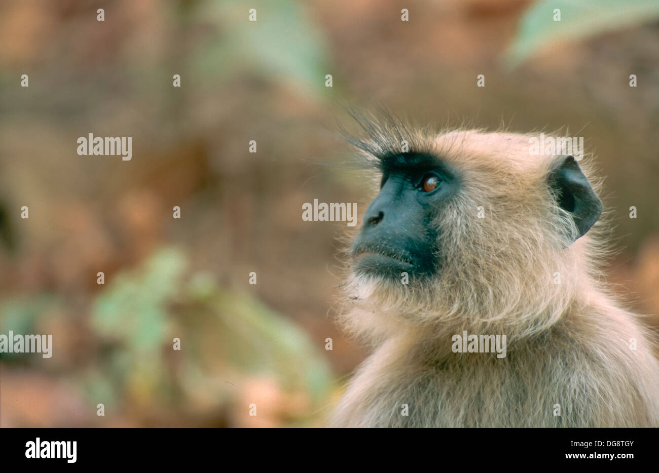 Langur observer. Bandavgarh National Park. State of Madhya Pradesh. India. - Stock Image
