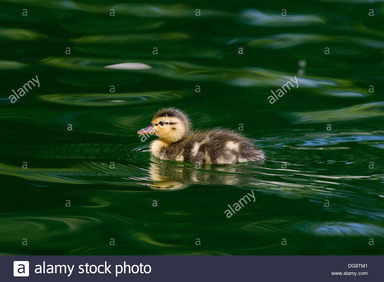 Mallard Duck, Anas platyrhynchos - Stock Image
