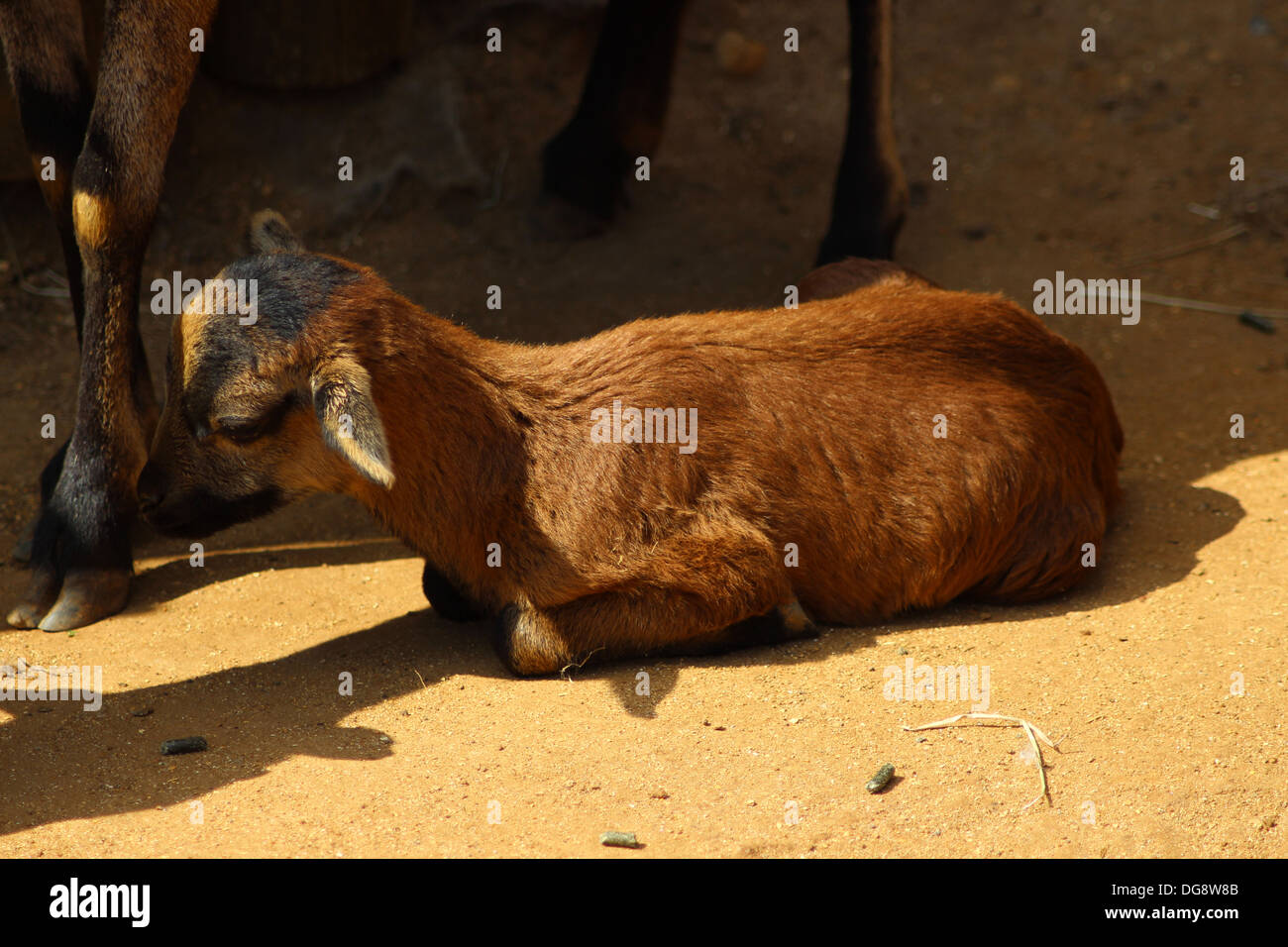 Pygmy goats are small, horned goats that were used for meat and milk production. They stand between 16 and 23 inches tall - Stock Image