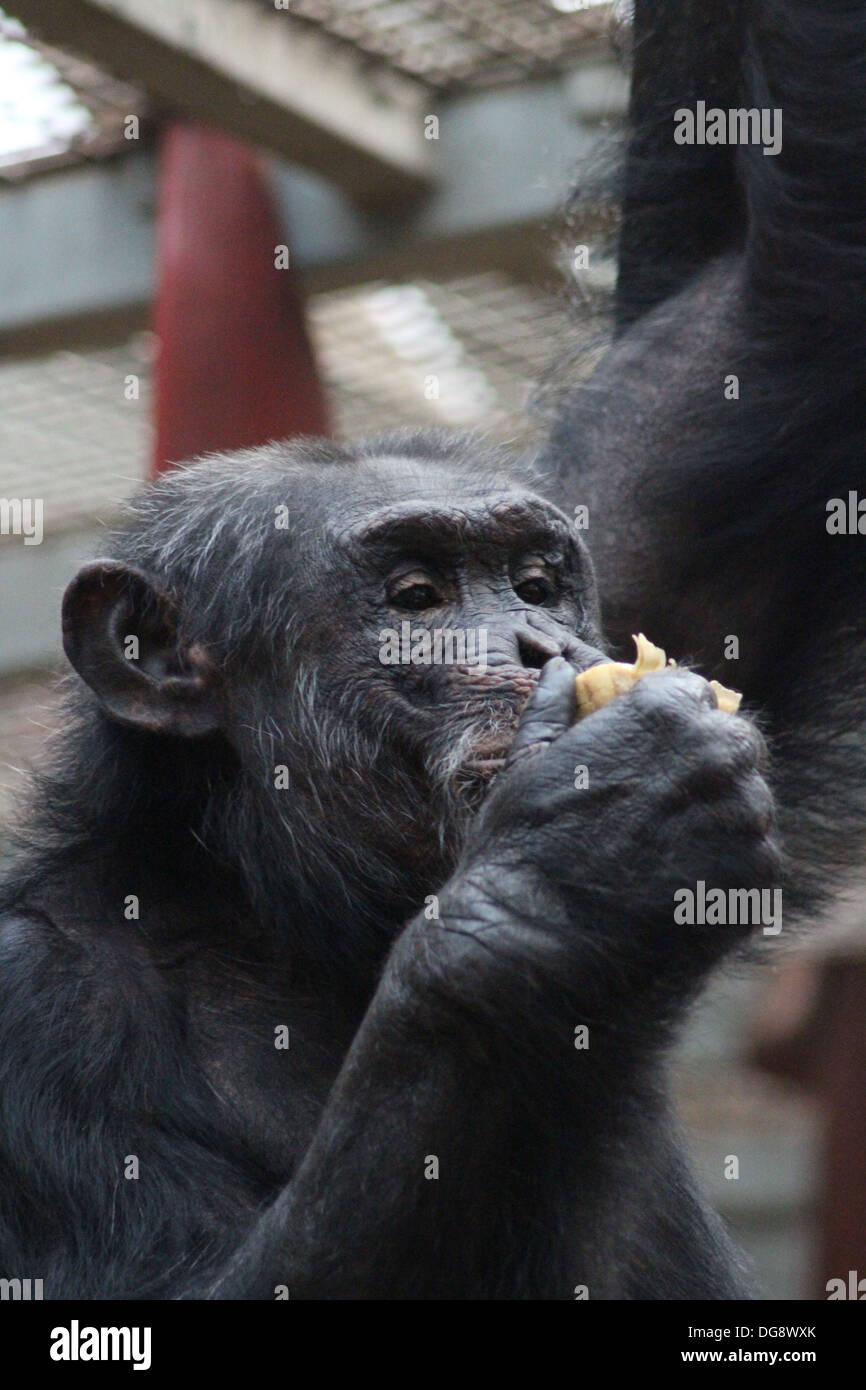 Chimpanzees are one of the great apes and are one of our closest living relatives in the animal kingdom. - Stock Image