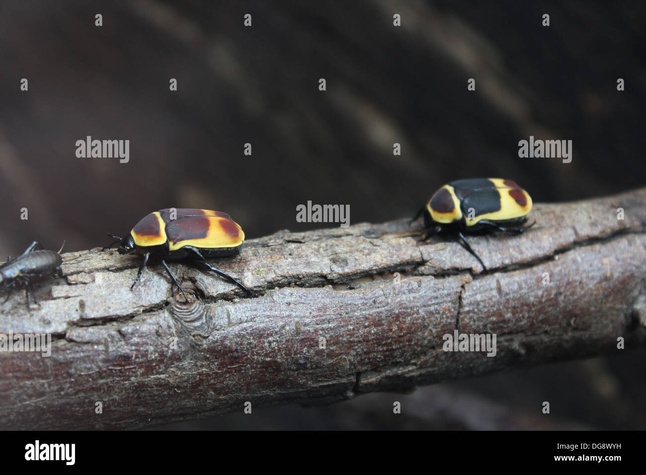 These beetles are between 2-5cm long. They breed easily and their whole life cycle takes only 5-7 months - Stock Image