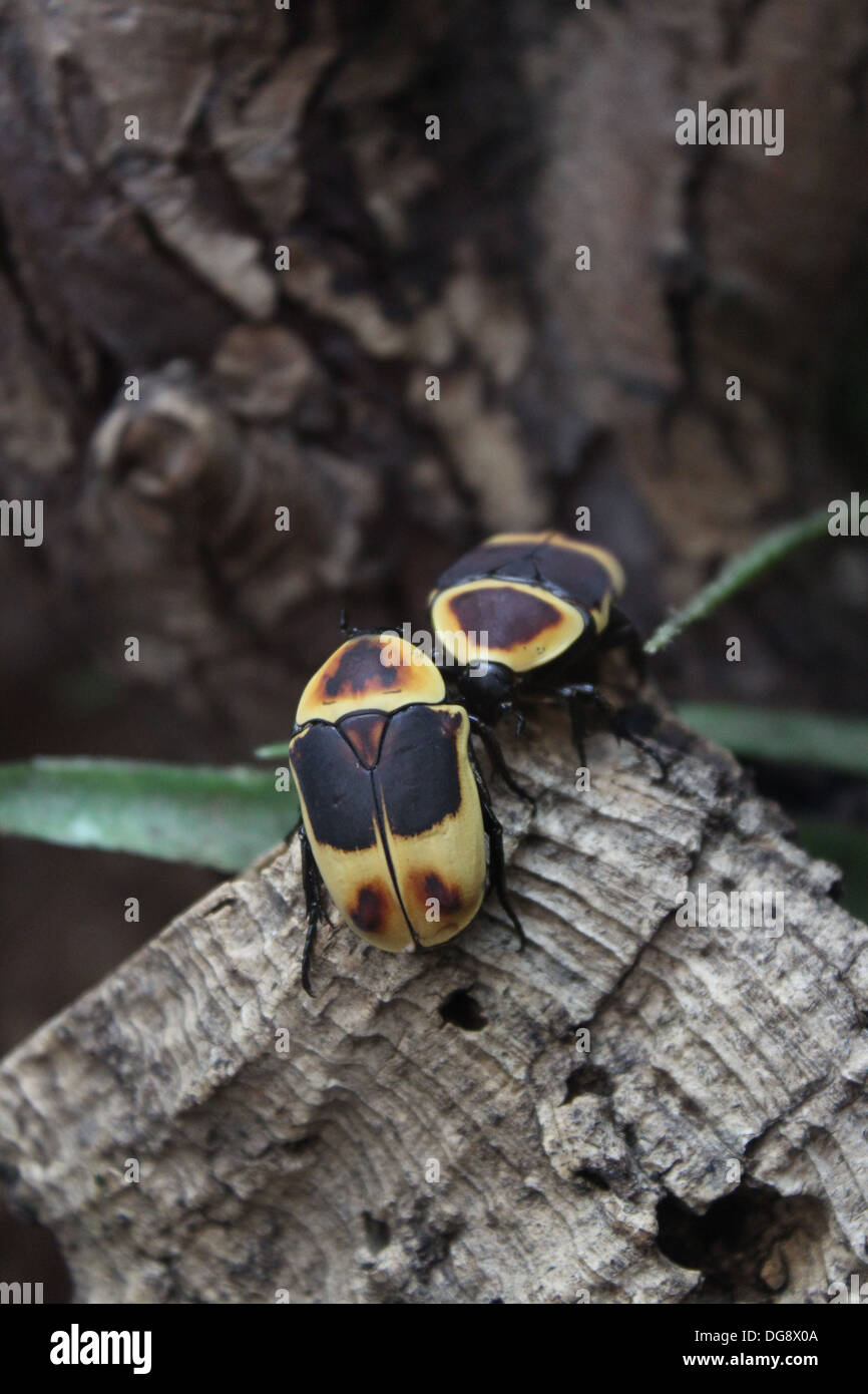 These beetles are between 2-5cm long. They breed easily and their whole life cycle takes only 5-7 months. - Stock Image