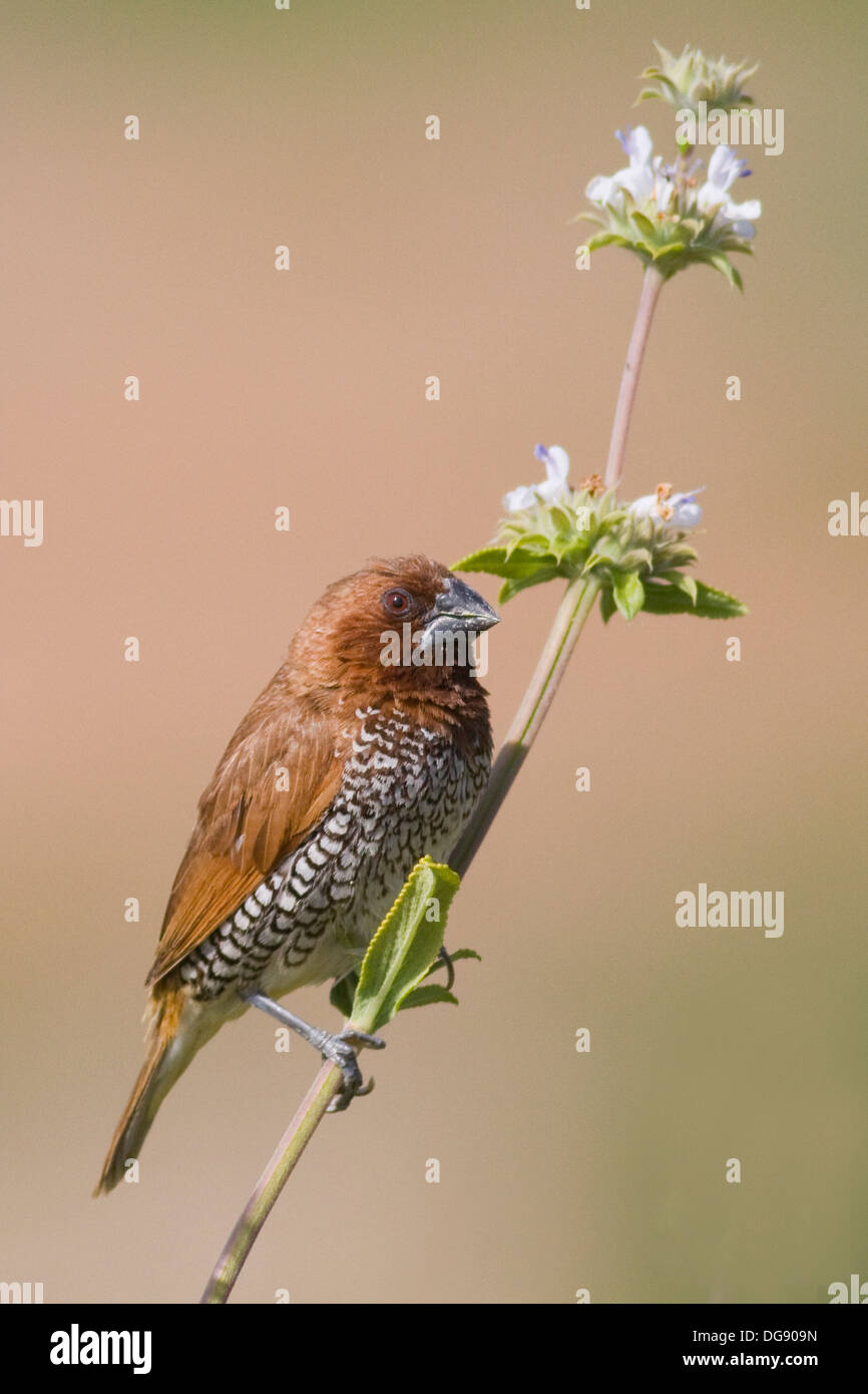 Nutmeg Mannikin also called a Spice Finch, a feral bird, on a clover plant.(Lonchura punctulata).Irvine,California - Stock Image