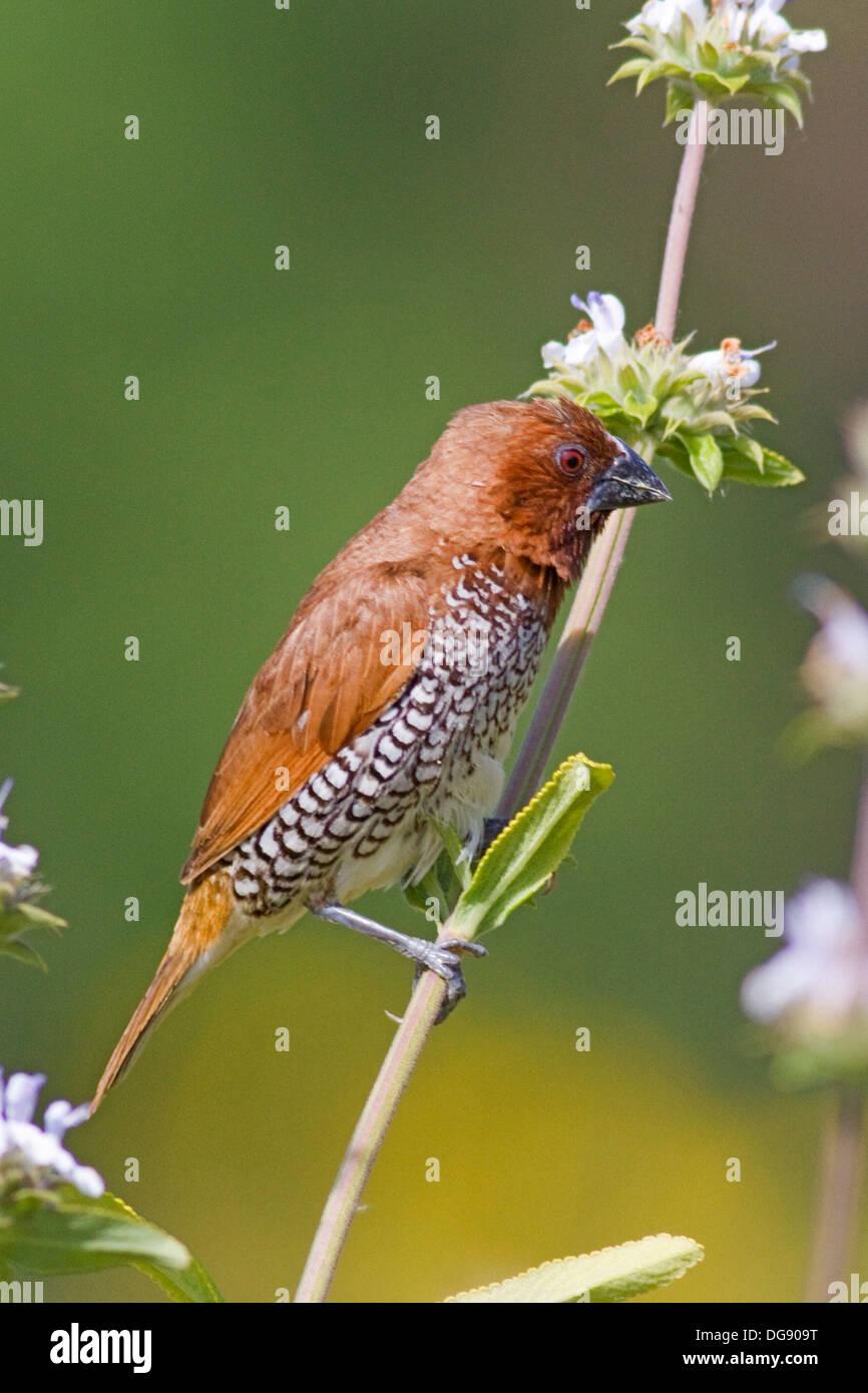 .Nutmeg Mannikin also called a Spice Finch, a feral bird.(Lonchura punctulata).Irvine,California. Stock Photo