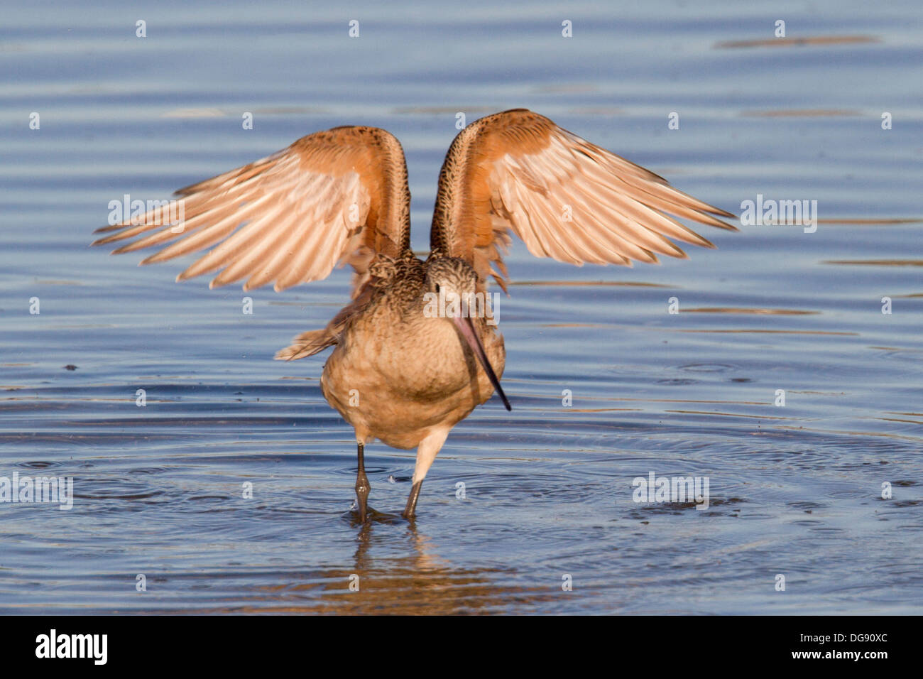 Marbled Godwit with wings up in the water.(Limosa fedoa).Back Bay Reserve, California - Stock Image