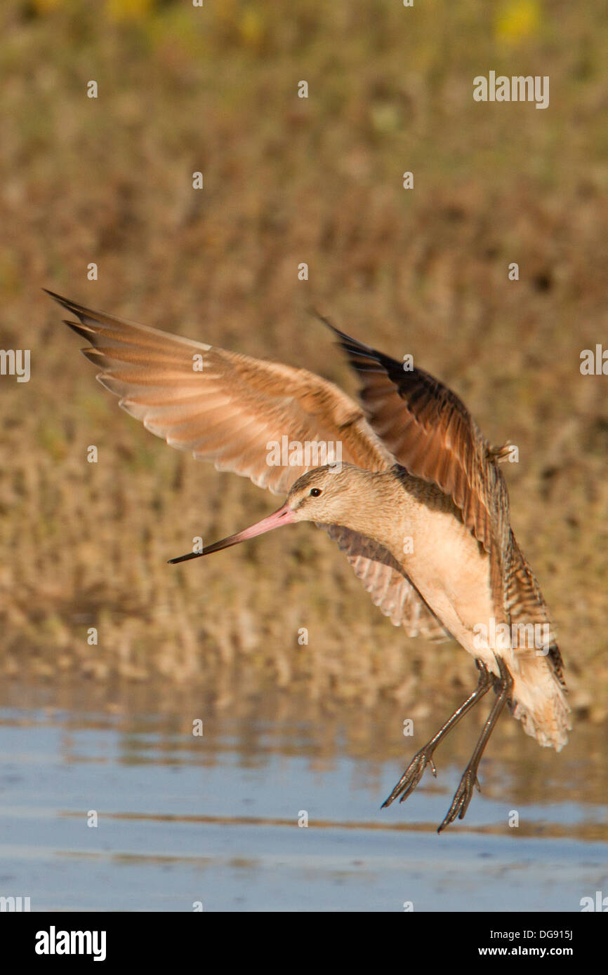 Marbled Godwit with wings up landing in the water.(Limosa fedoa).Back Bay Reserve, California - Stock Image