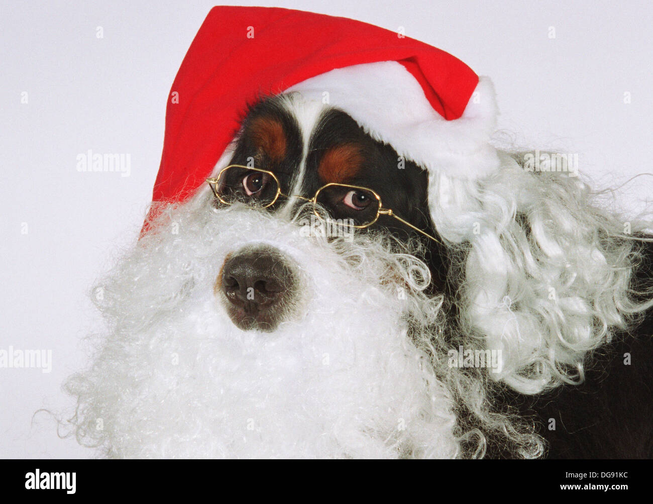 343e133252db9 Bernese Mountain Dog with Santa Claus beard and hat Stock Photo ...