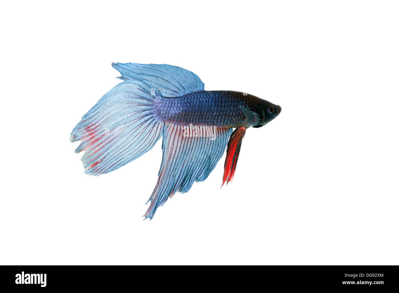 blue betta fish tank with isolated white background Stock Photo