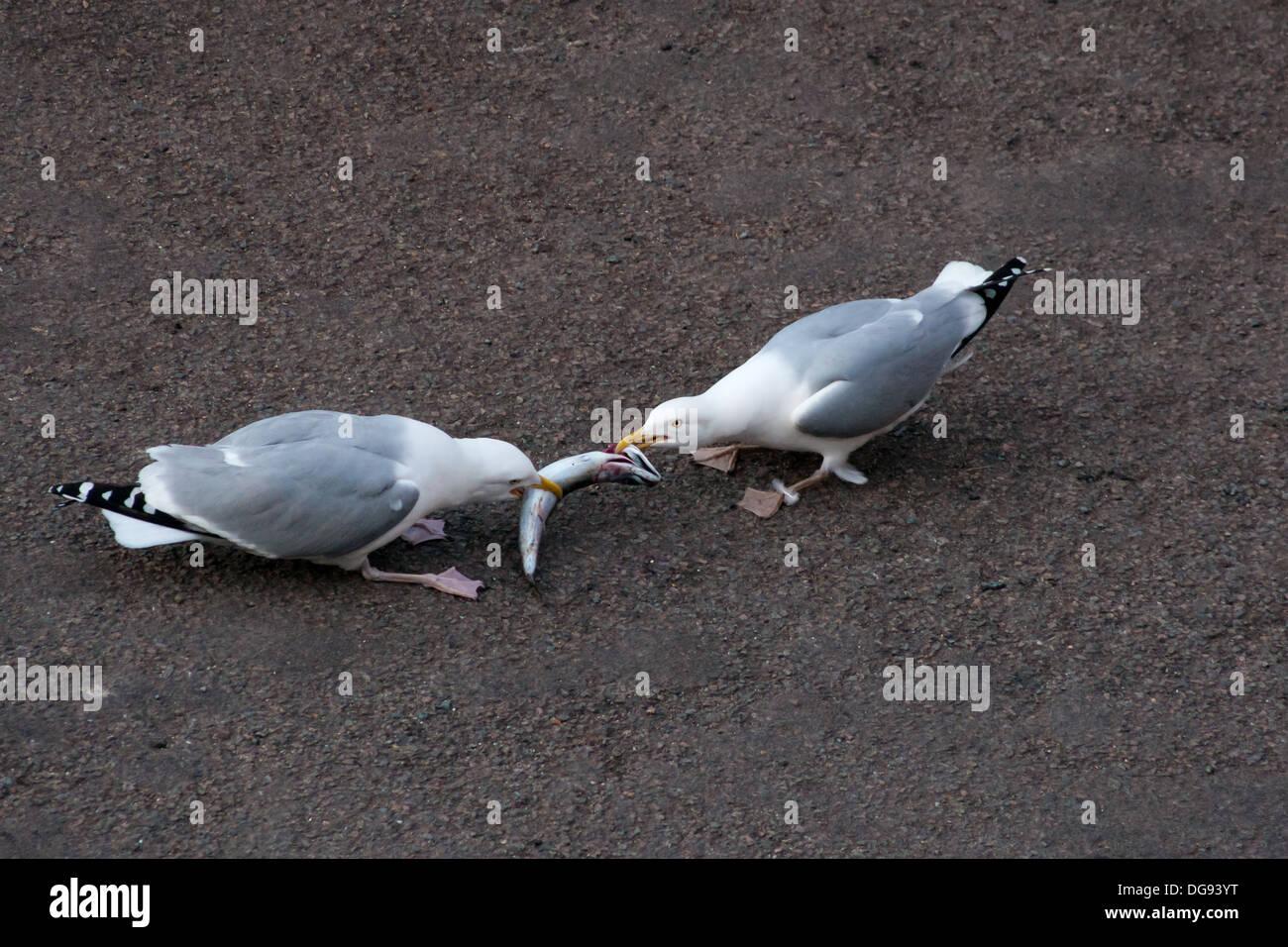 Seagulls fighting over a fish Mackrell Herring gulls fighting - Stock Image