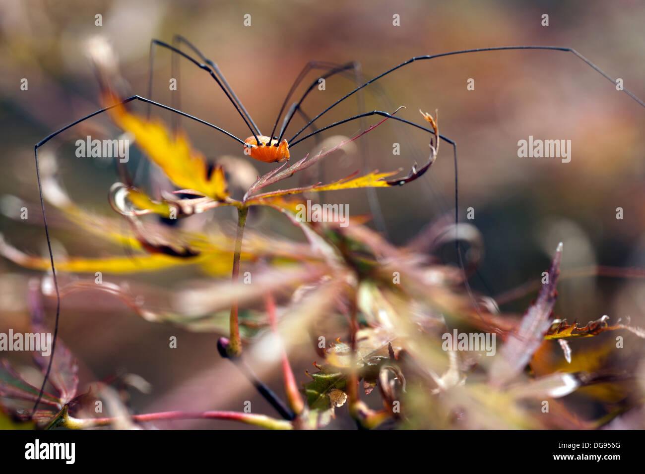 Harvestmen Spider - Brevard, North Carolina USA - Stock Image
