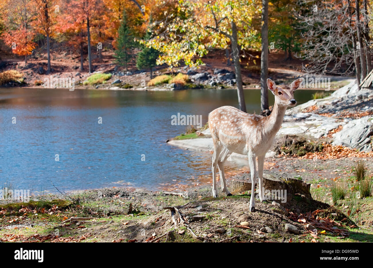 Fallow deer standing by the lake on a fall day. - Stock Image