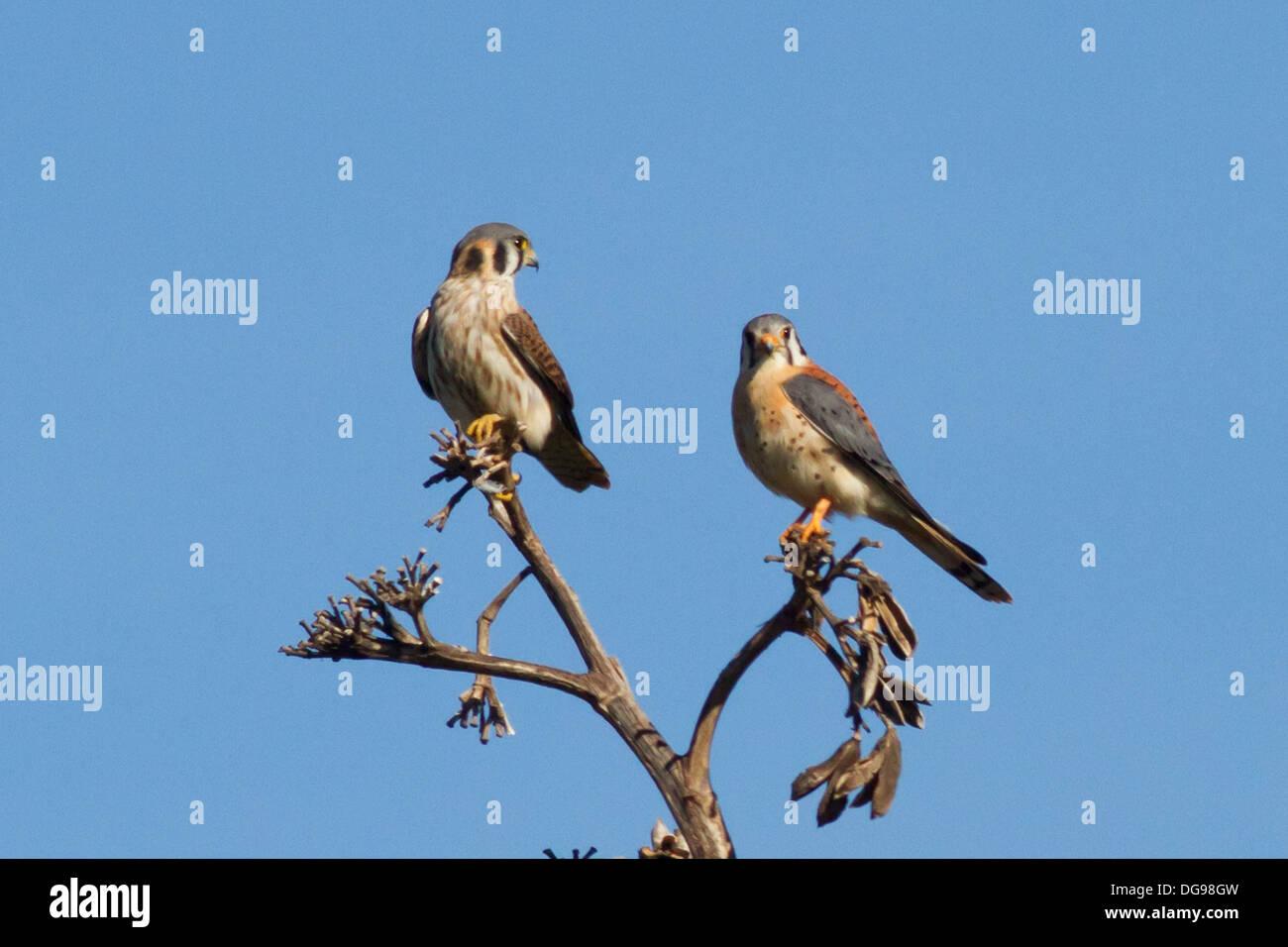 Pair of American Kestrels .(Falco suparverius).Bola Chica Stock ...
