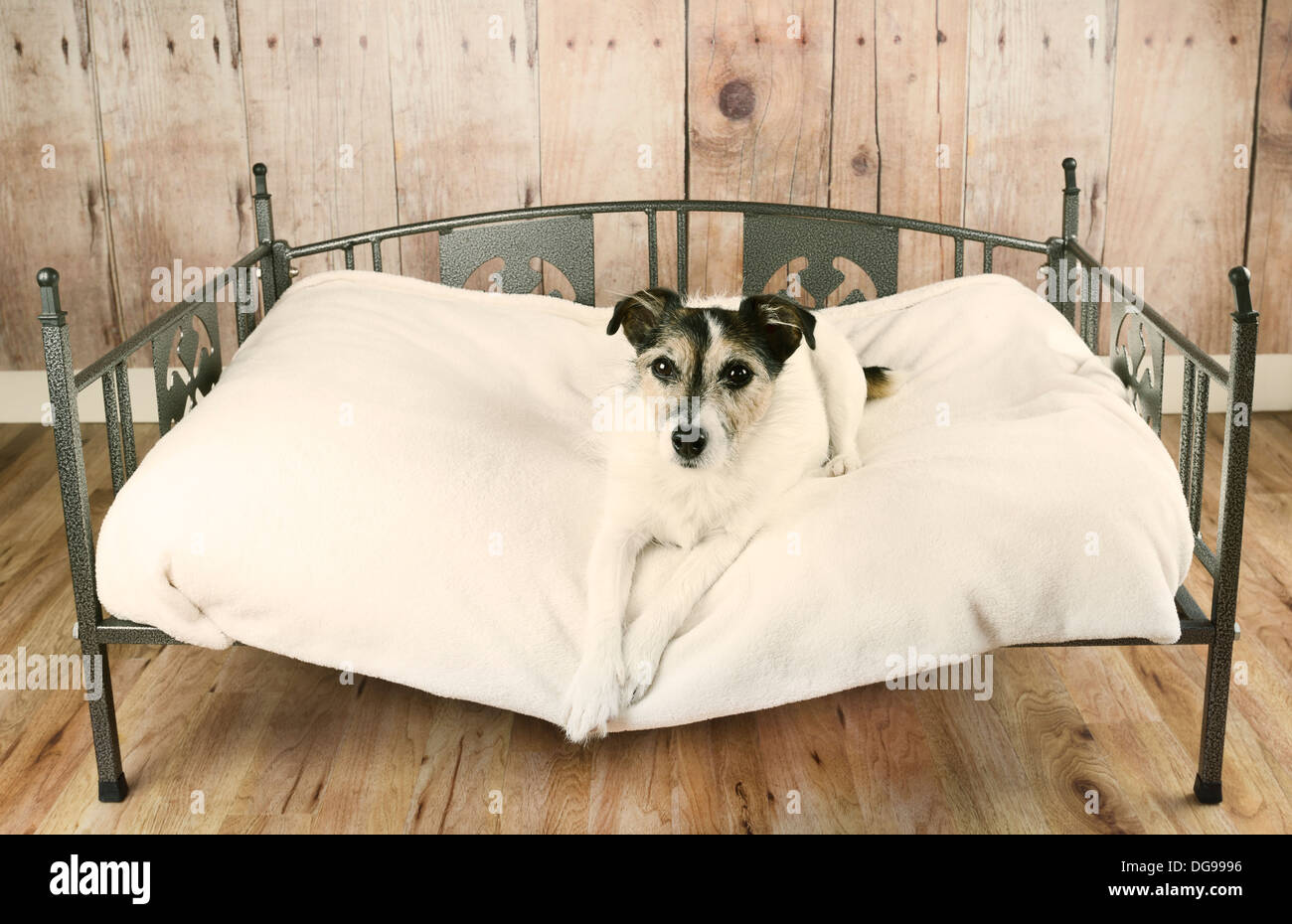 Jack Russell terrier dog relaxing in luxury dog bed - Stock Image