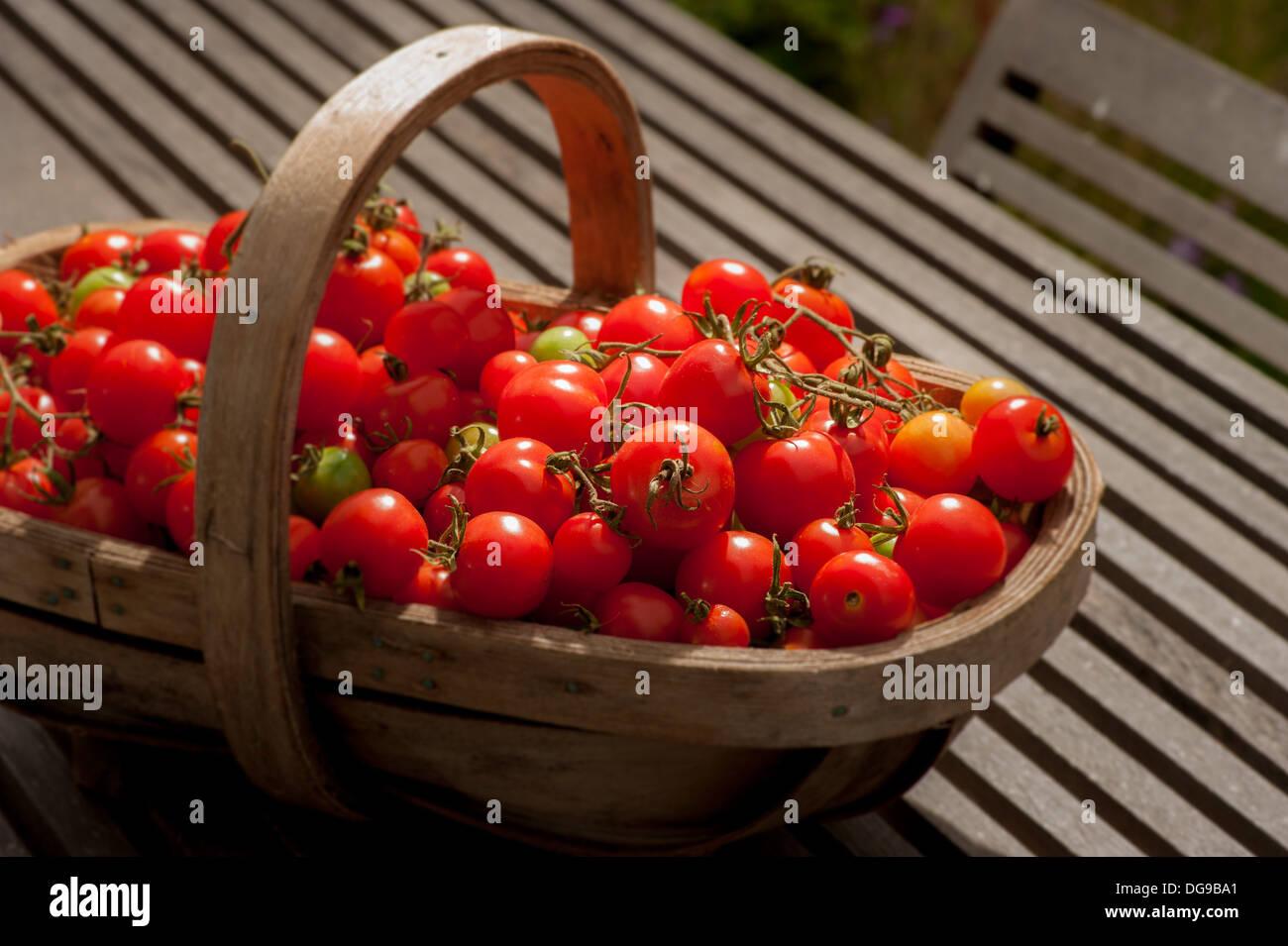 End of season tomato harvest in wooden trug on garden table. - Stock Image