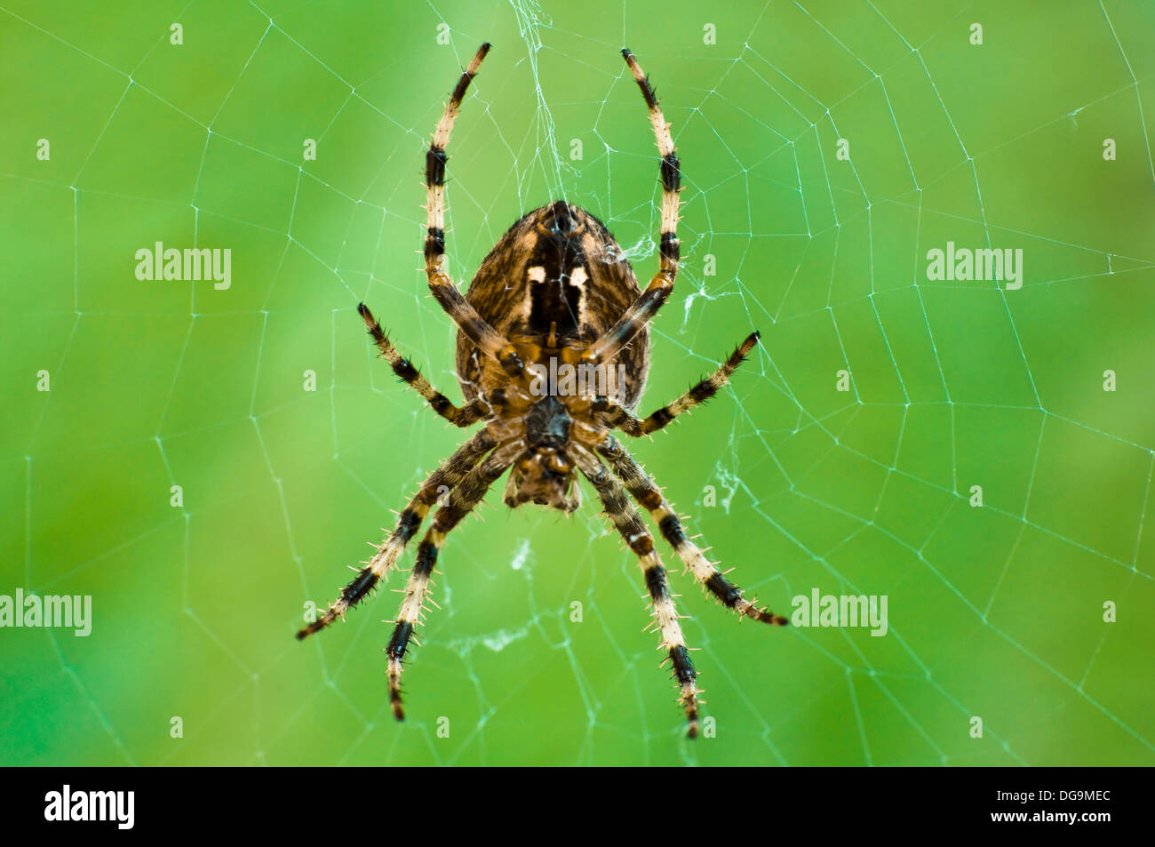 A Close up Macro Photograph of a Common Garden Orb Spider in its Web taken in the Autumn in the UK. ( One of a set of five - see description for further details ) - Stock Image