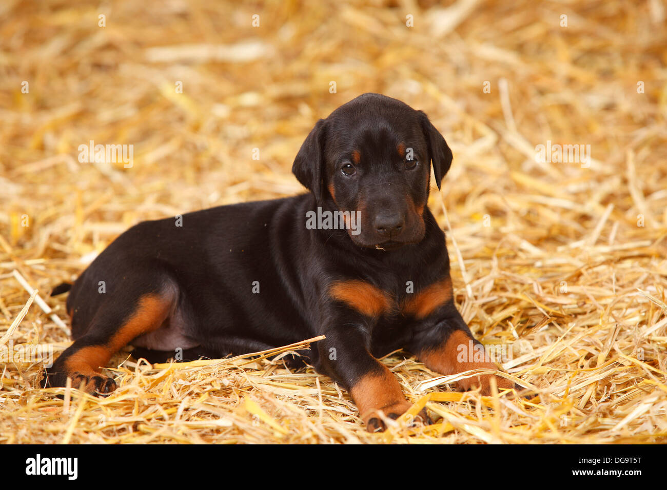 Dobermann Pinscher, puppy, 5 weeks |Dobermann, Welpe, 5 Wochen - Stock Image