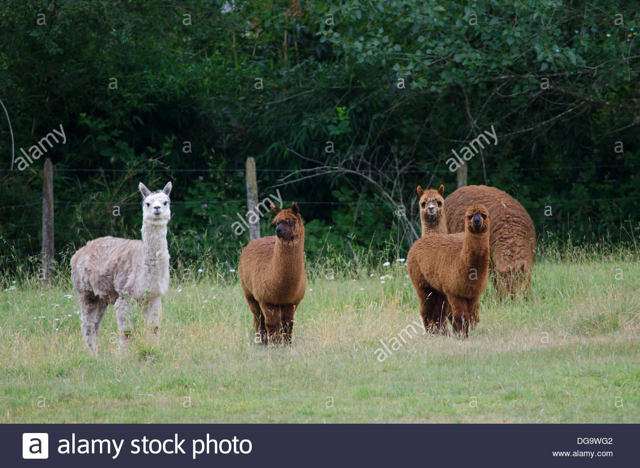 Alpacas (Lama pacos). - Stock Image