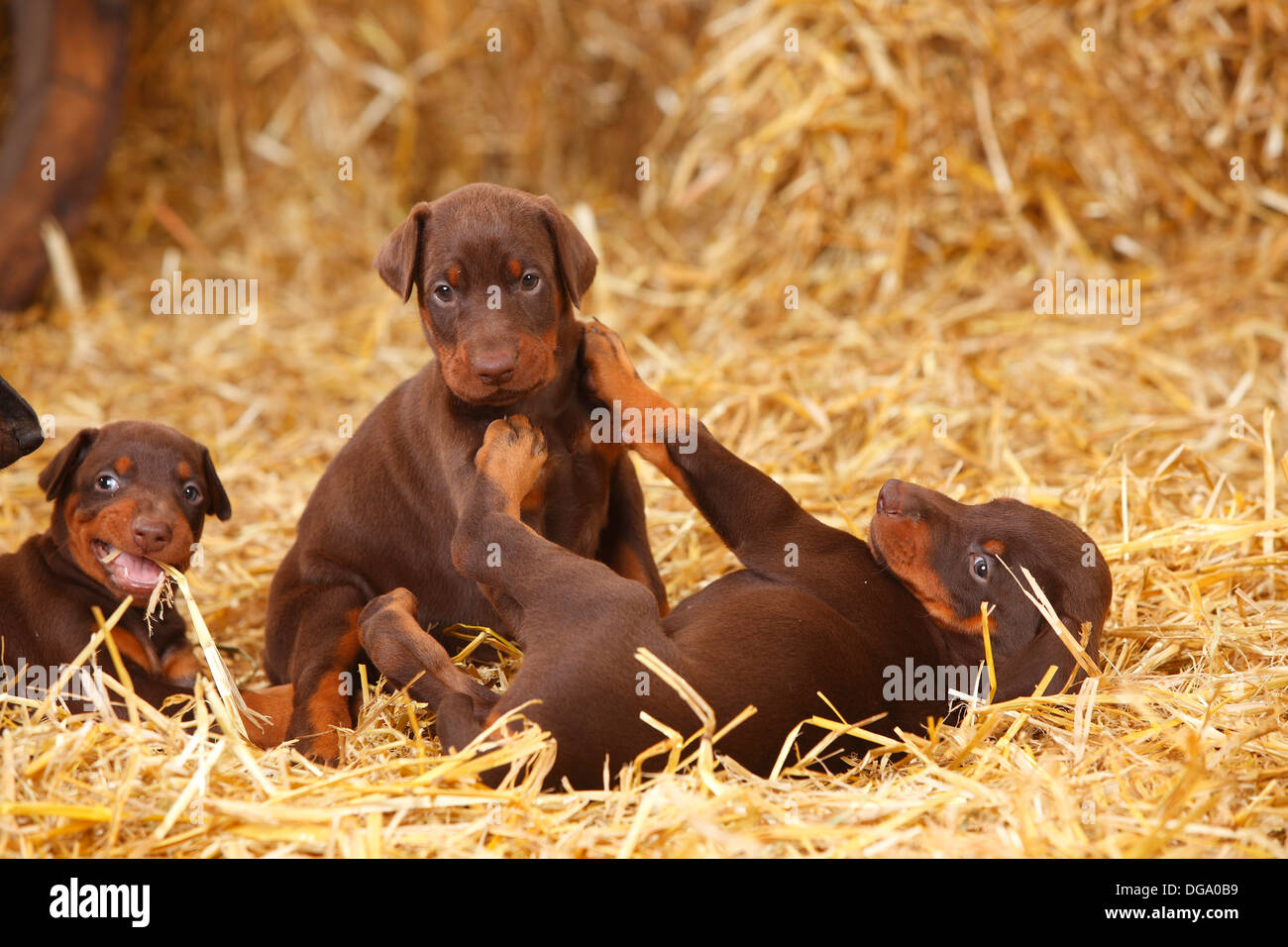 Dobermann Pinscher, puppies, 5 weeks |Dobermann, Welpen, 5 Wochen - Stock Image