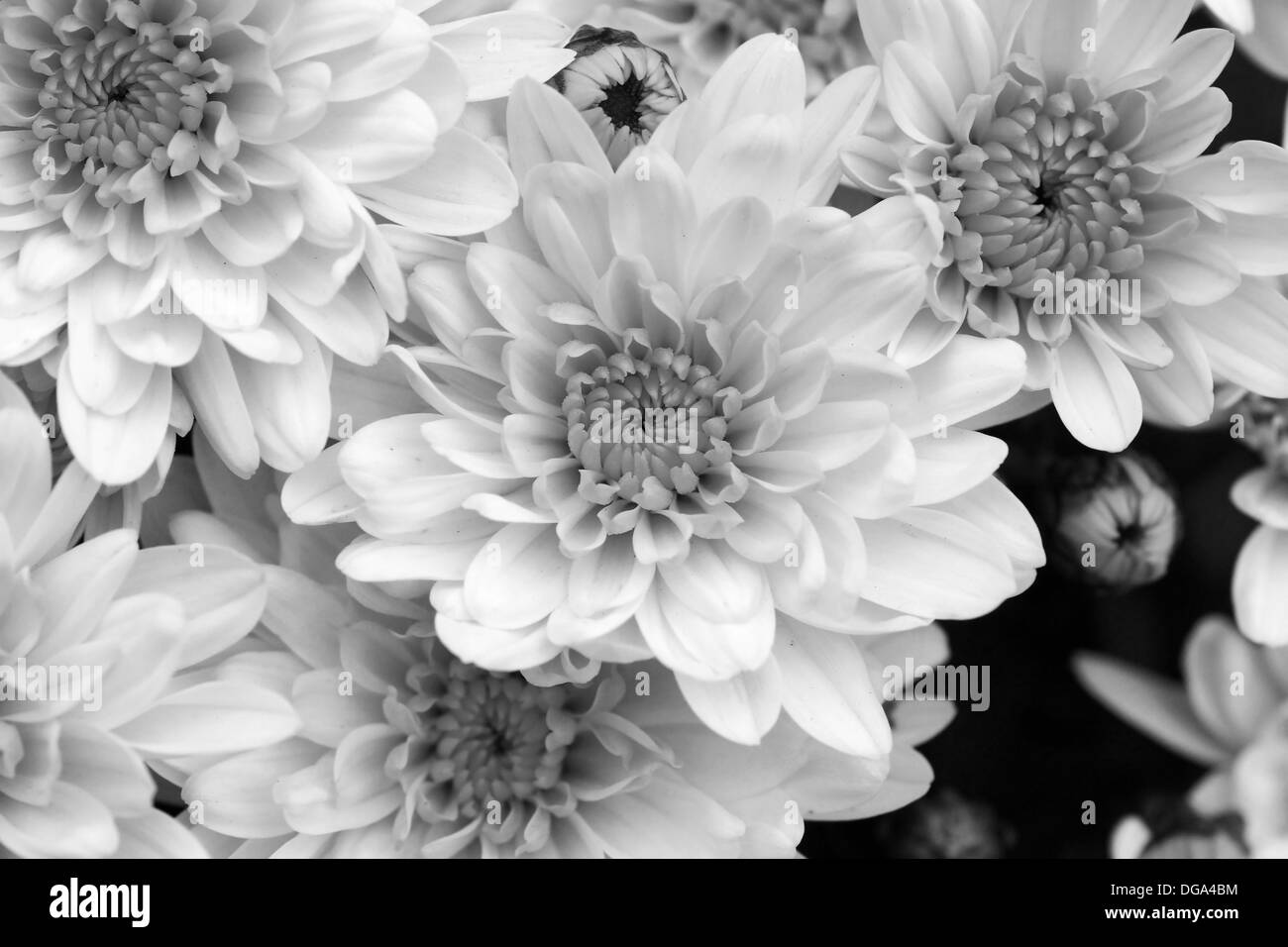 White mums stock photos white mums stock images alamy black and white mums flowers beautiful floral background stock image mightylinksfo