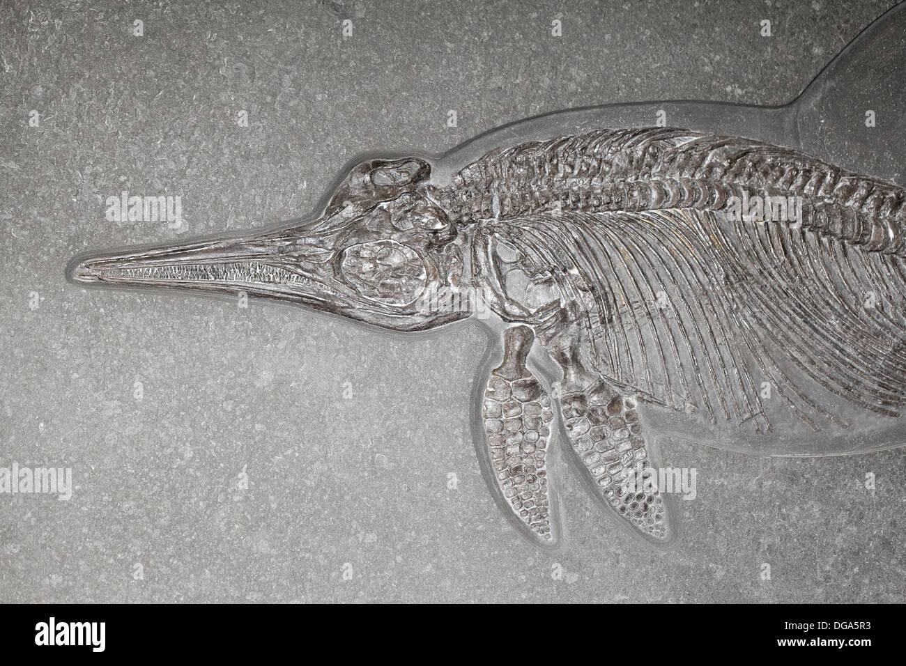 Ichthyosaur - Stock Image