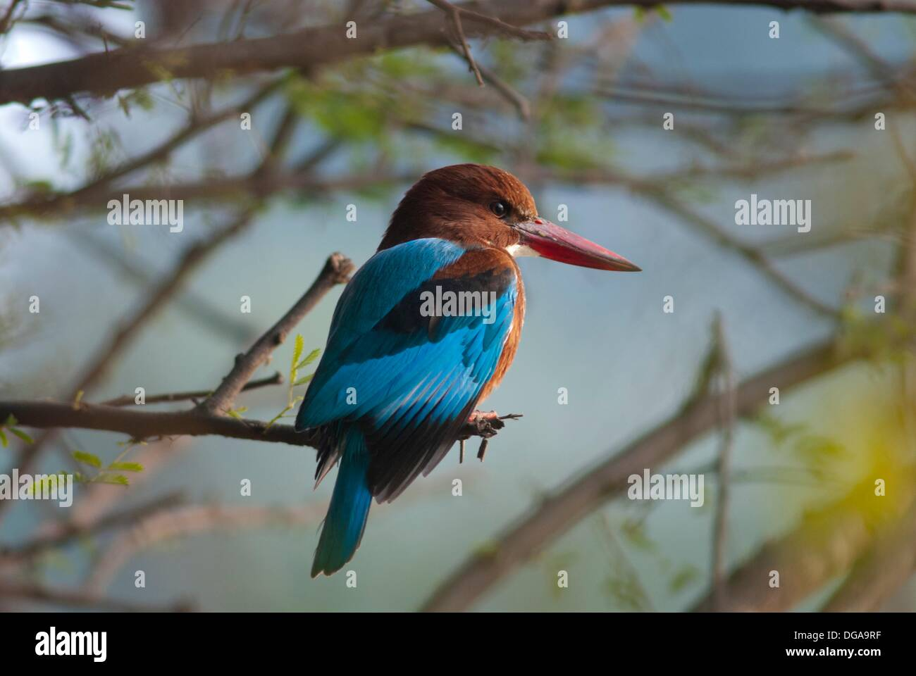 White-throated kingfisher Halcyon smyrnensis, perching on branch, Bharatpur, Rajasthan, India - Stock Image